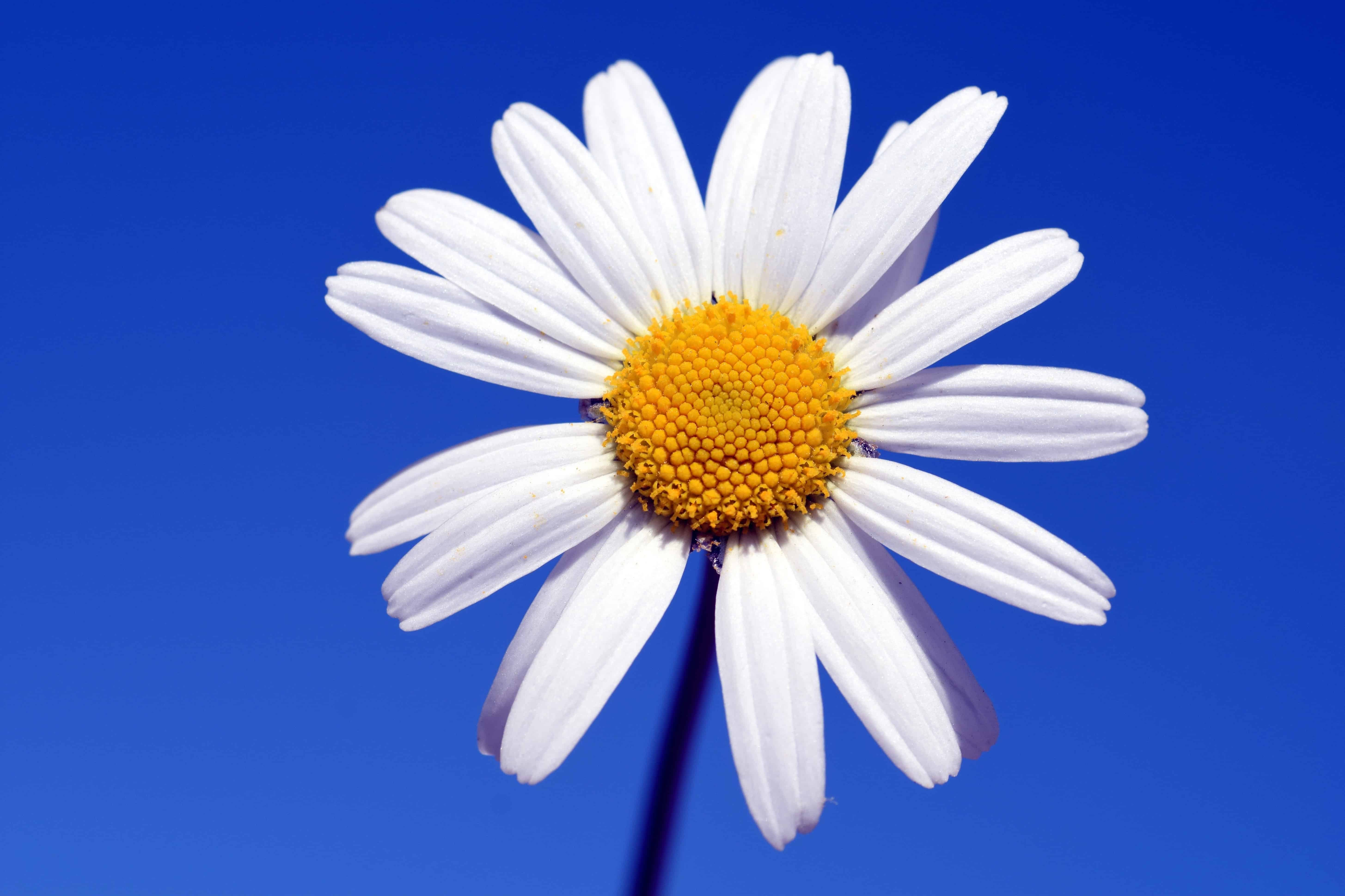 Free picture: blue sky, nature, white flower, horticulture, plant ...