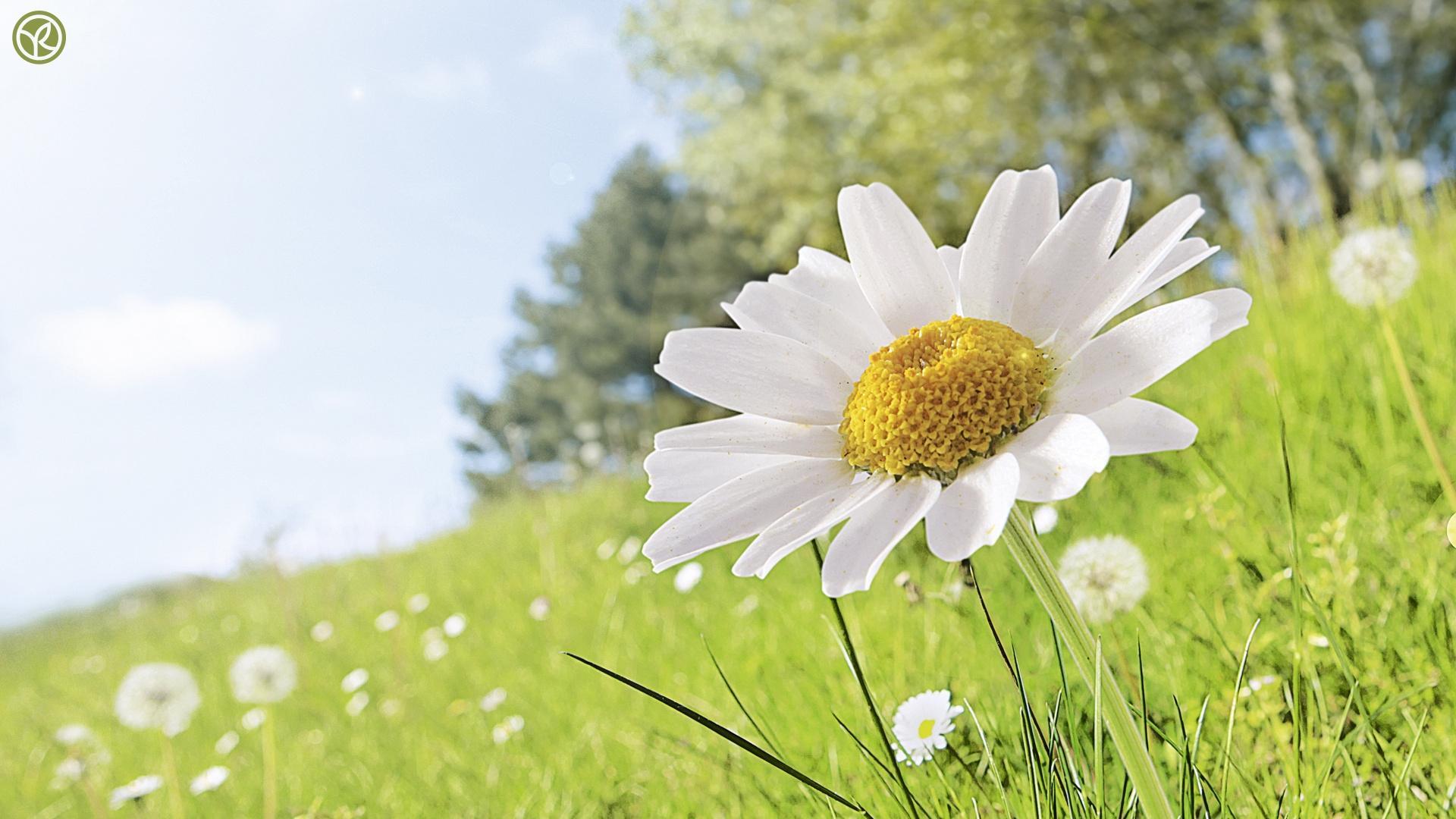 white flower wallpaper