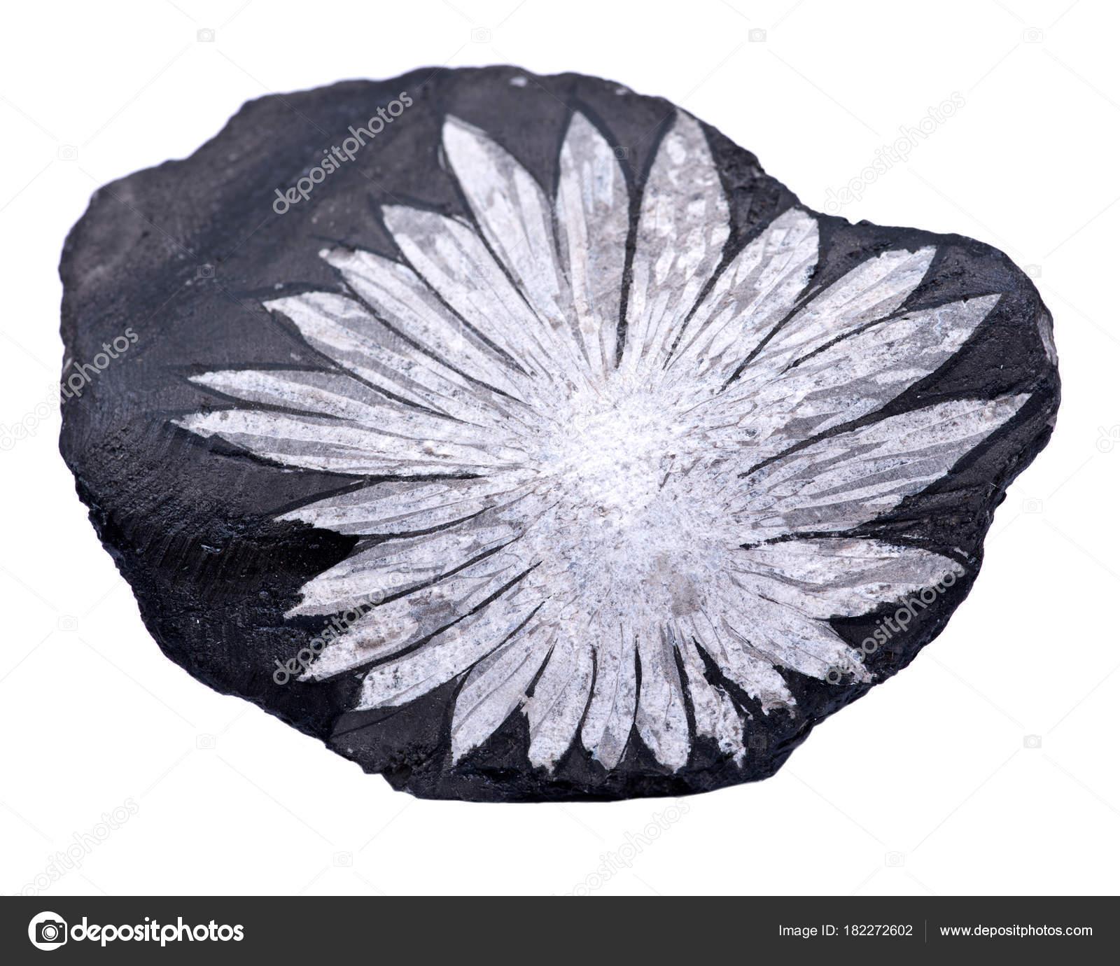 White Flower Chrysanthemum Stone China Isolated White Background ...