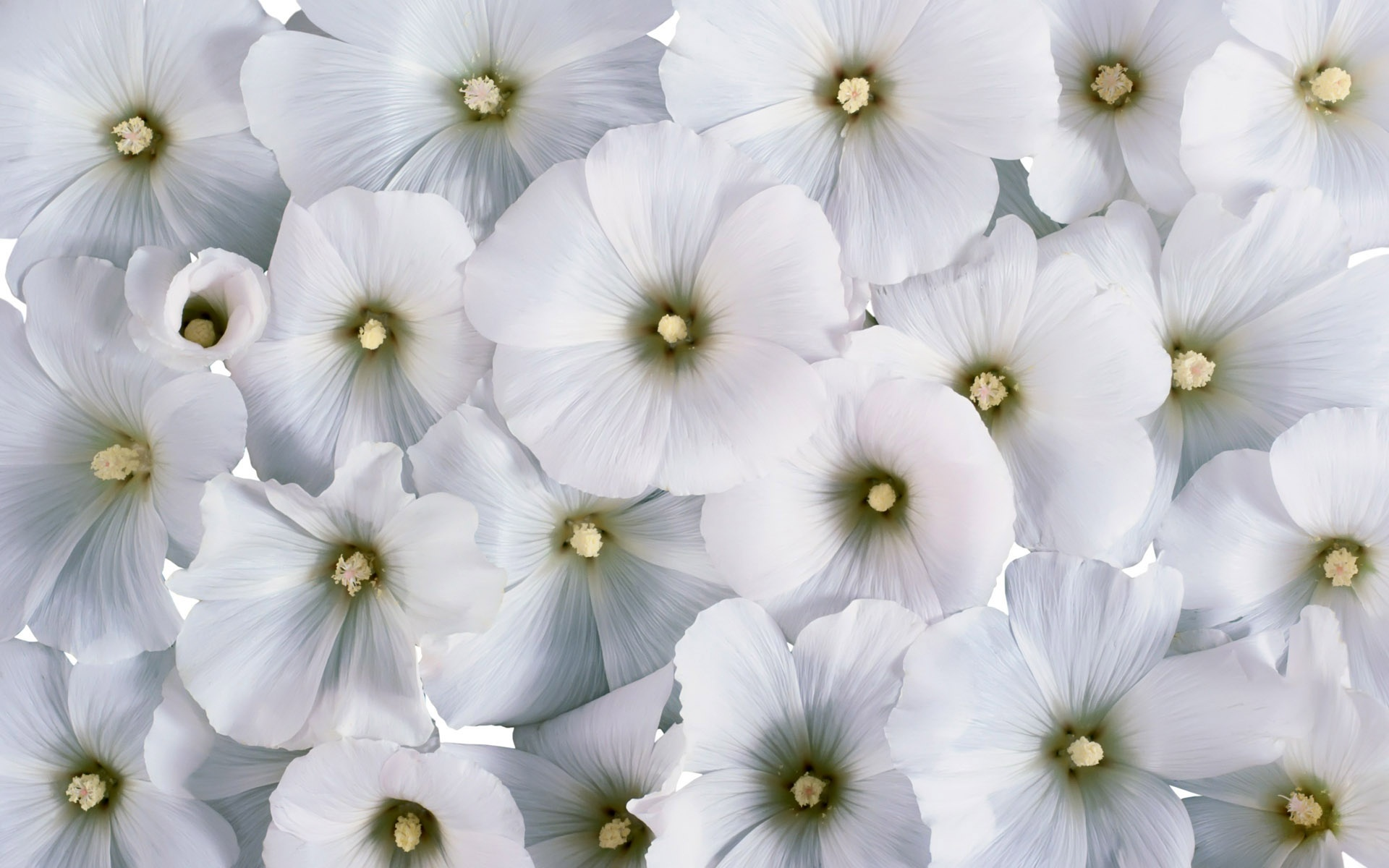 real white flower background 11 | Background Check All