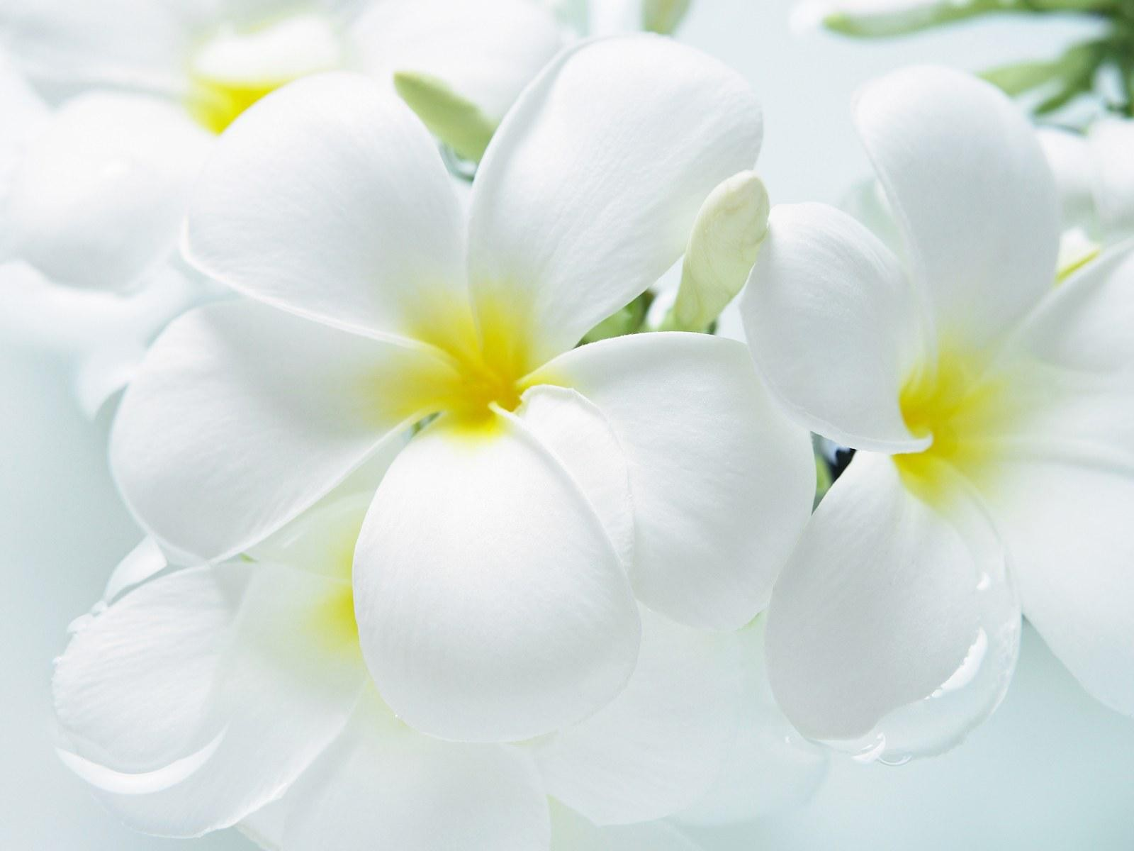 Free Photo White Flowers Plant Spring Petal Free Download