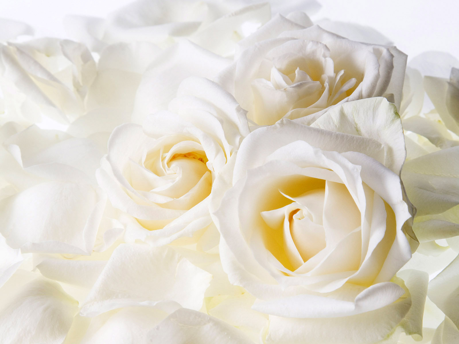 Free Photo White Flower Plants White Nature Free Download