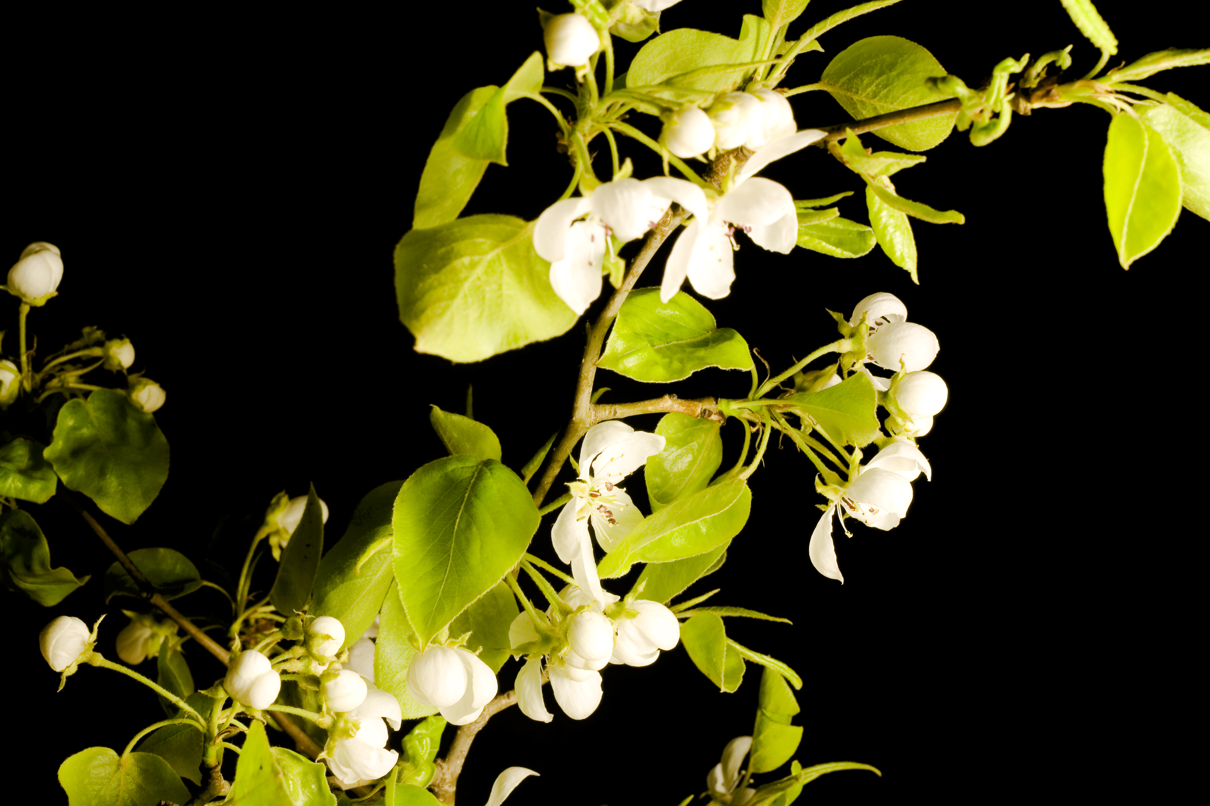 White Flower and Green Leaves, Beautiful, Con2011, Flower, Green, HQ Photo