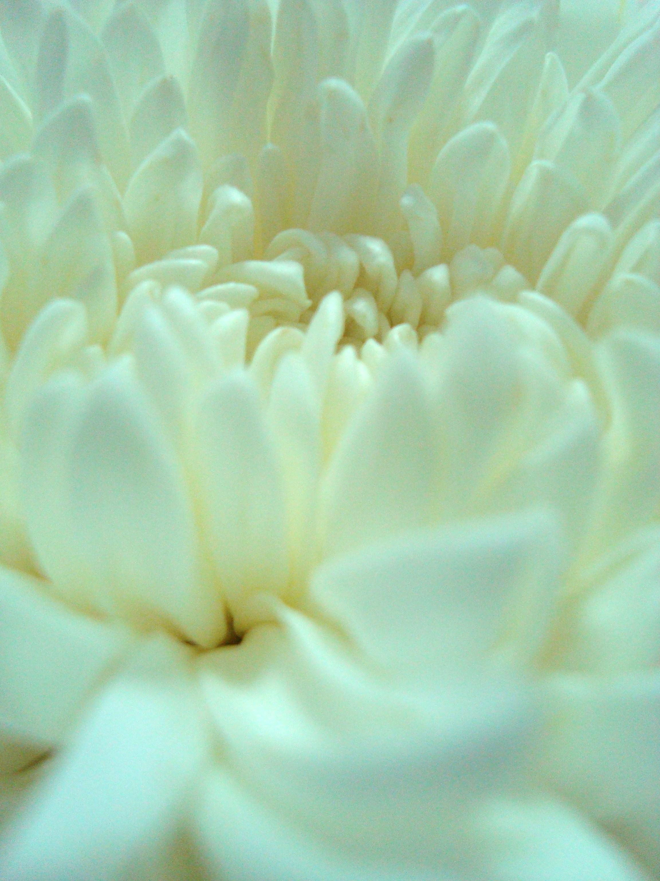 White Flower Close-Up, Arranged, Petals, Stylish, Stamen, HQ Photo