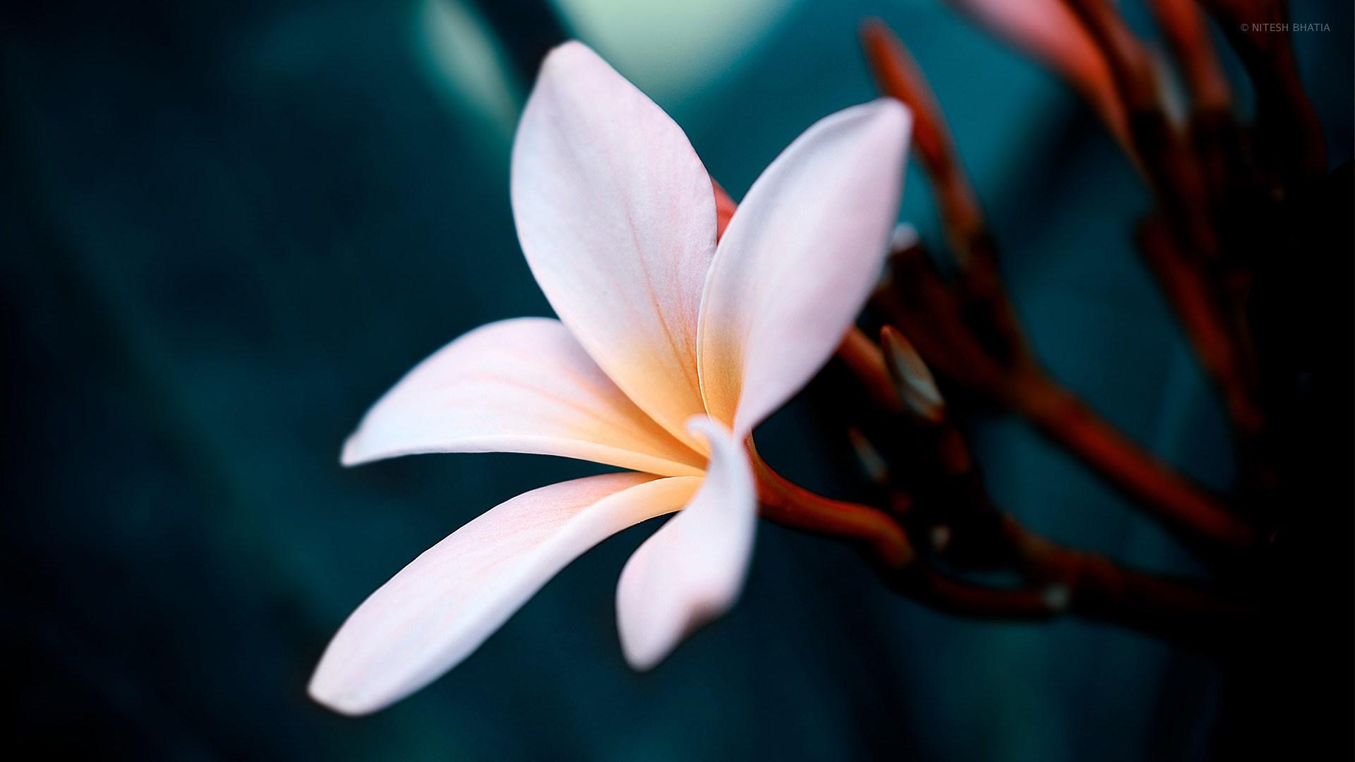 White Plumeria Flower Close Up Desktop Wallpaper