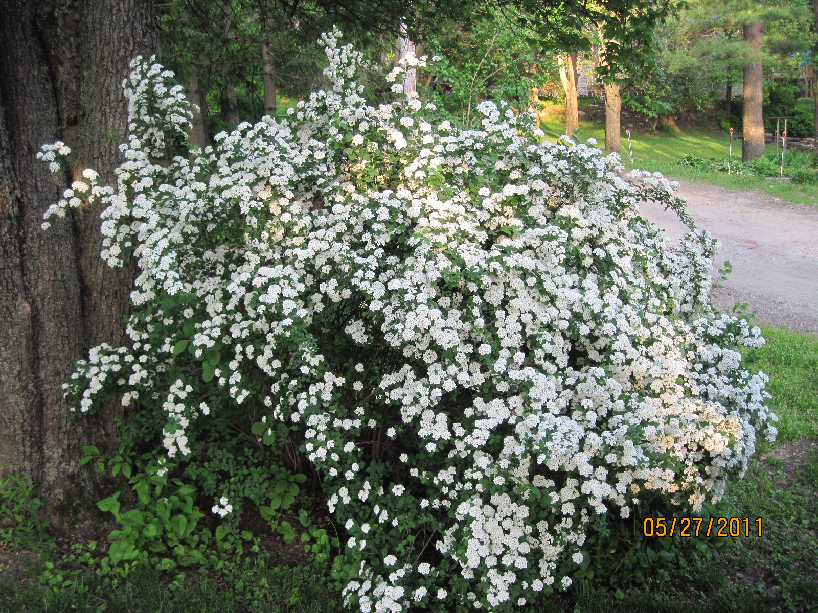 Free Photo White Flowered Bush White Plants Bush Free
