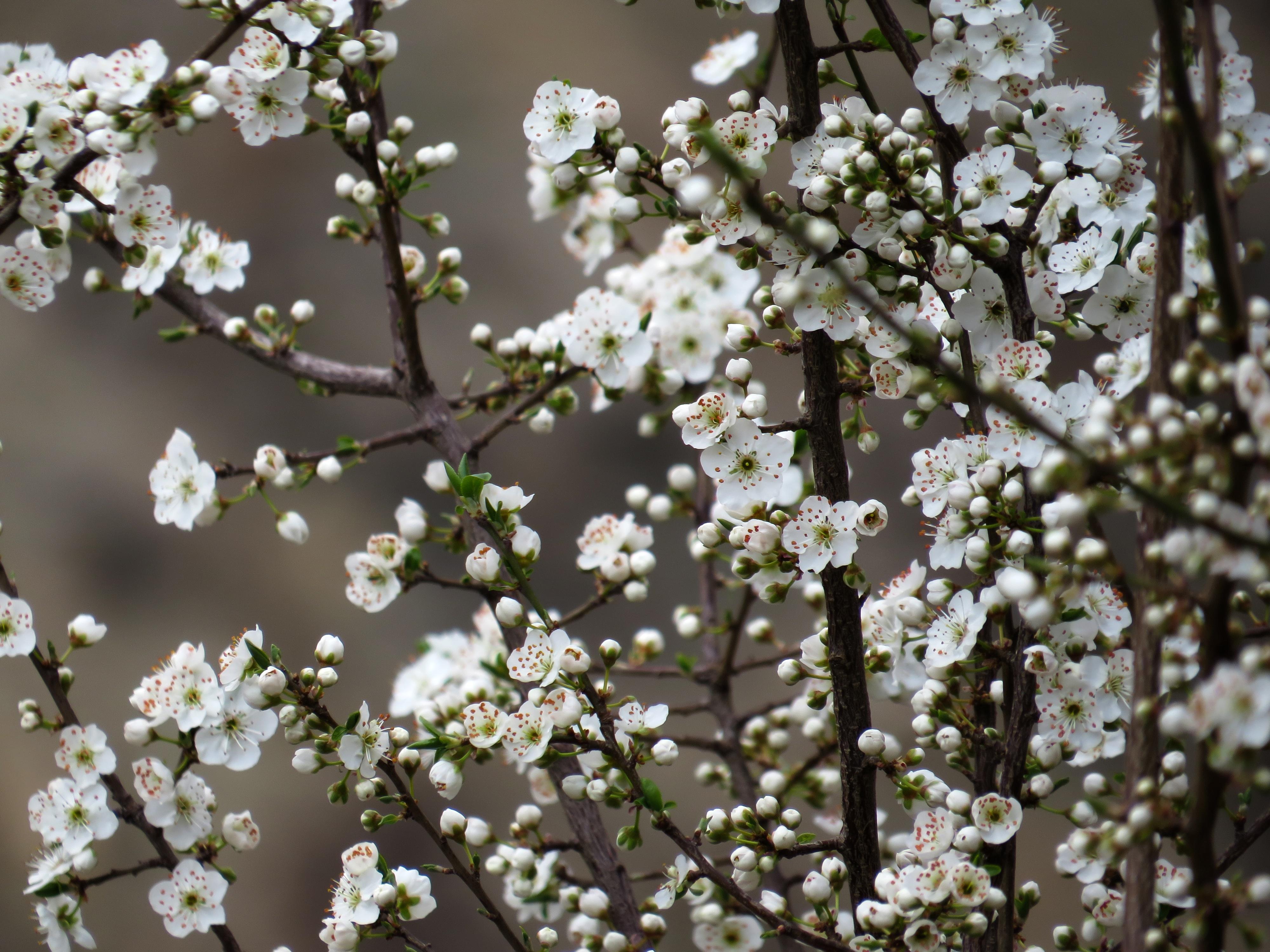 White Flowers, Beautiful, Beauty, Branch, Flower, HQ Photo