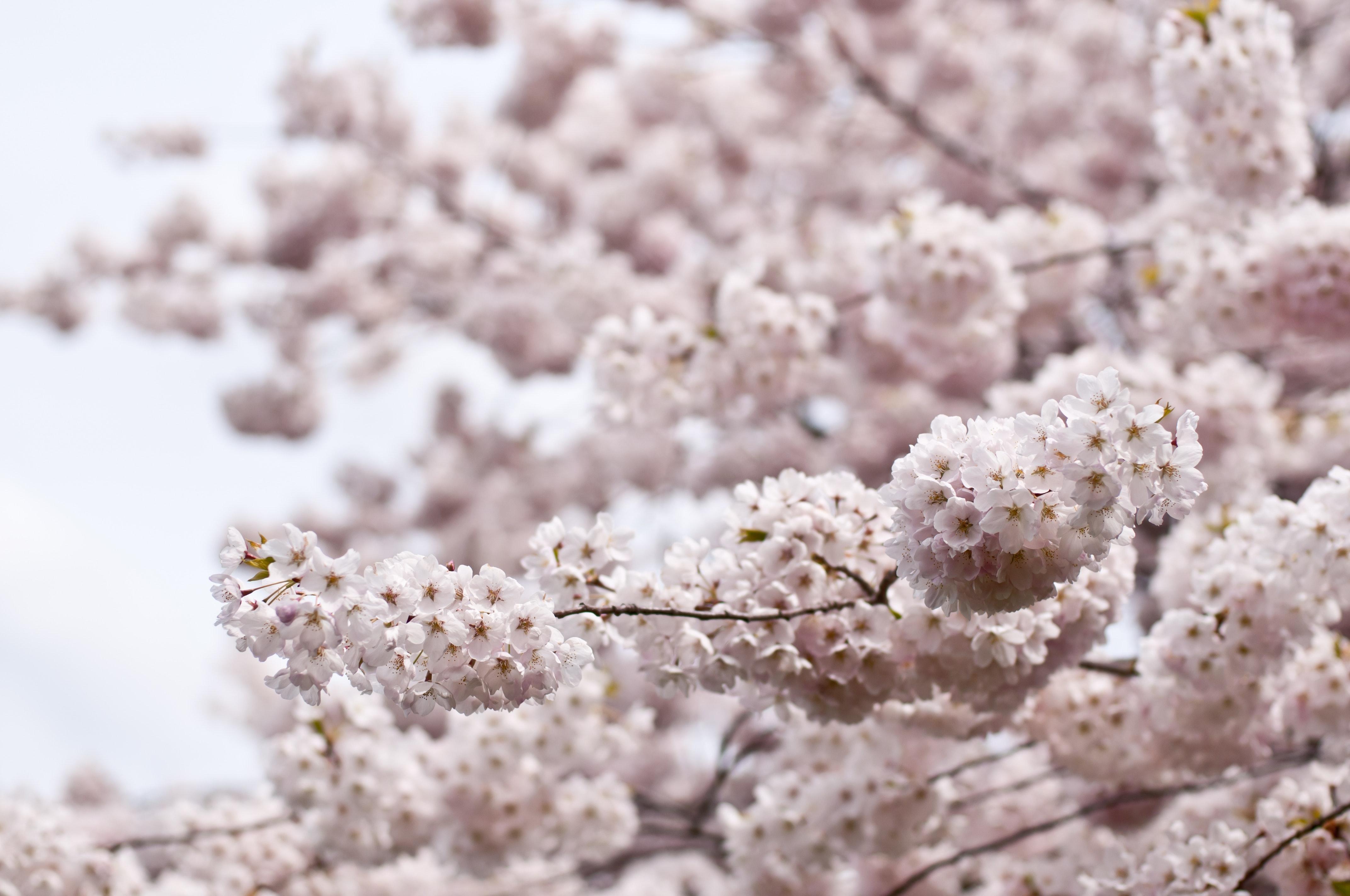 White Flowers, Bloom, Blossom, Cherry blossom, Flora, HQ Photo
