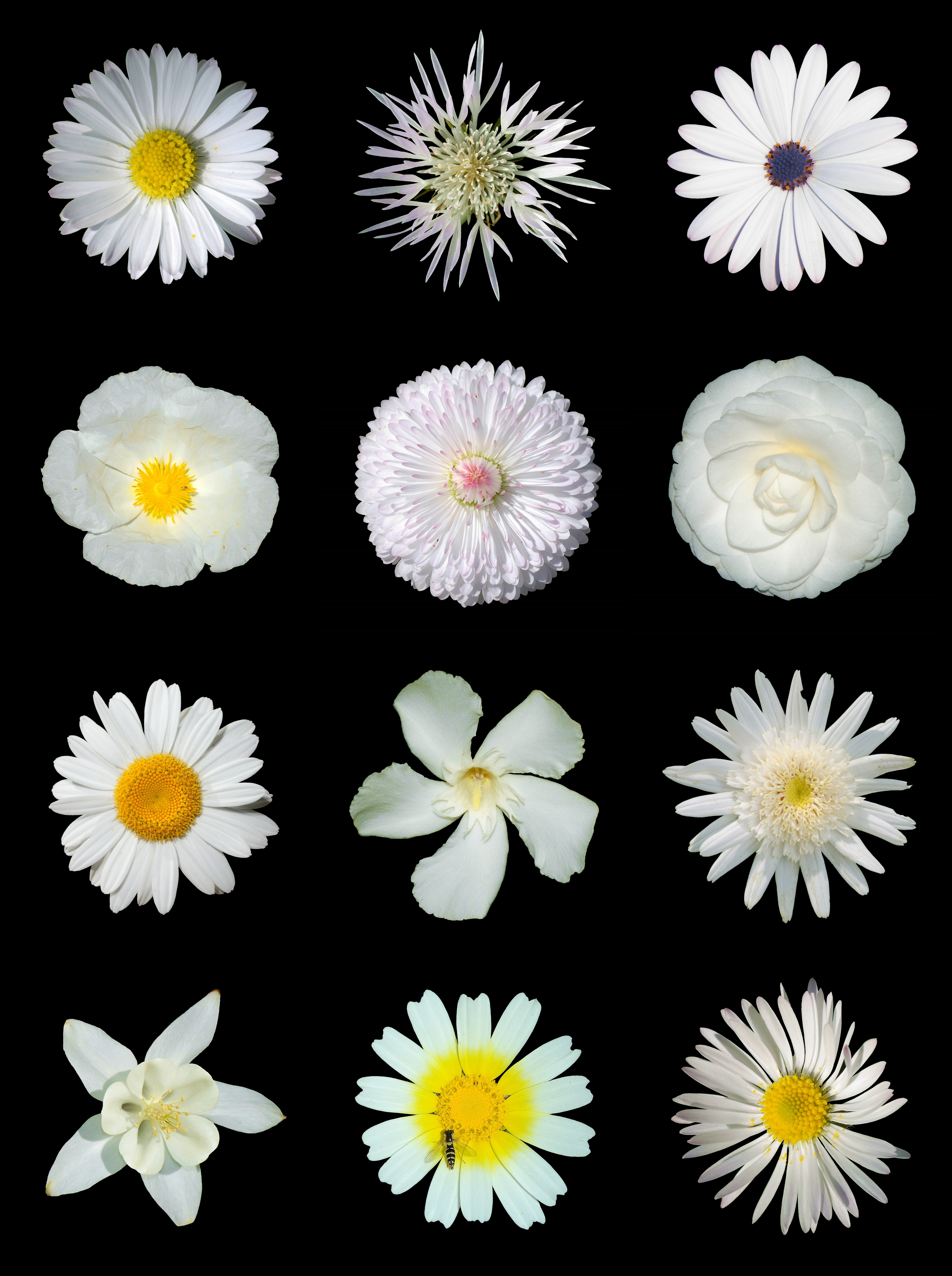 File:White flowers b.jpg - Wikimedia Commons