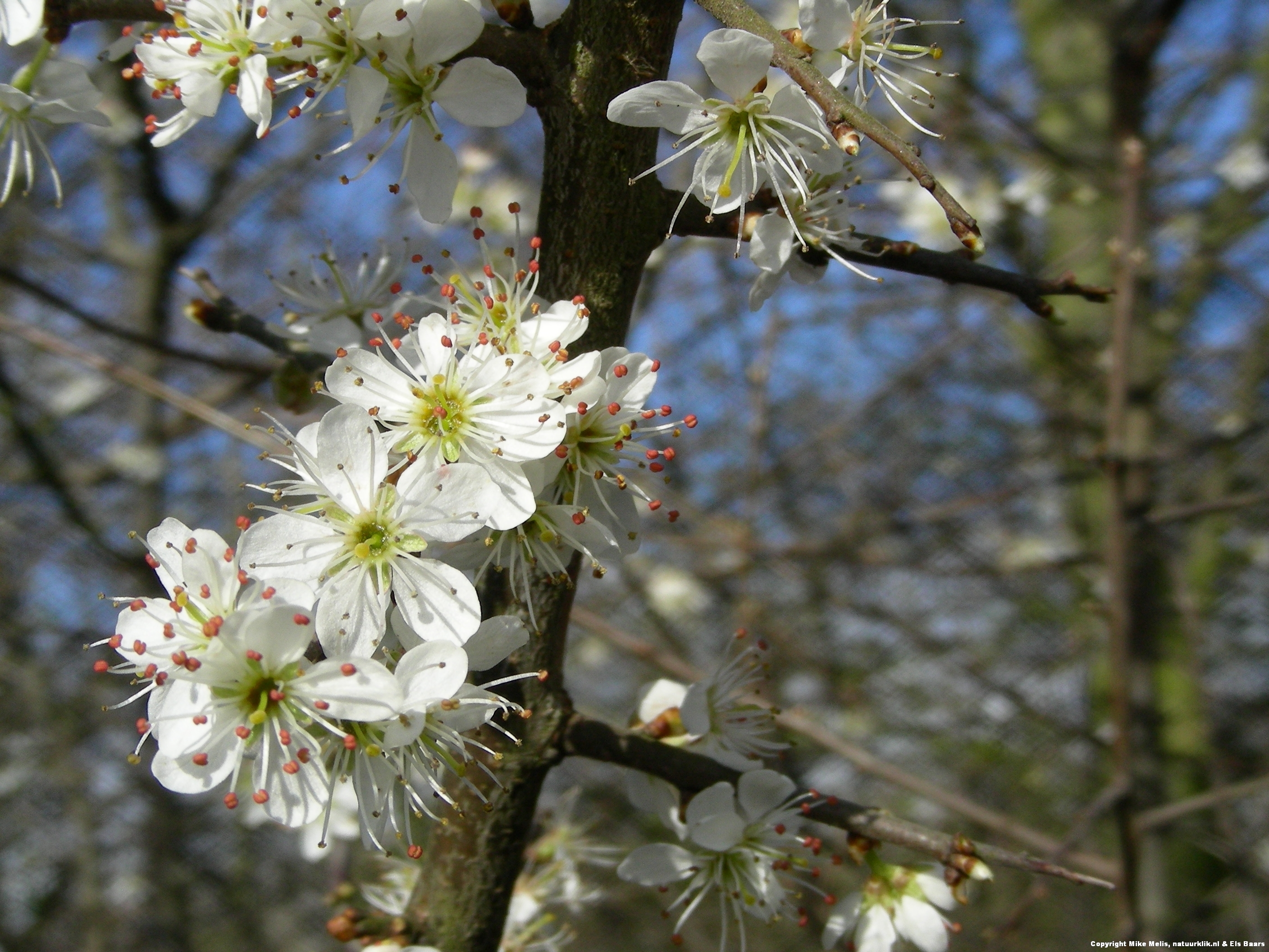 Why the blackthorn has white flowers (049) – Natuurverhalen