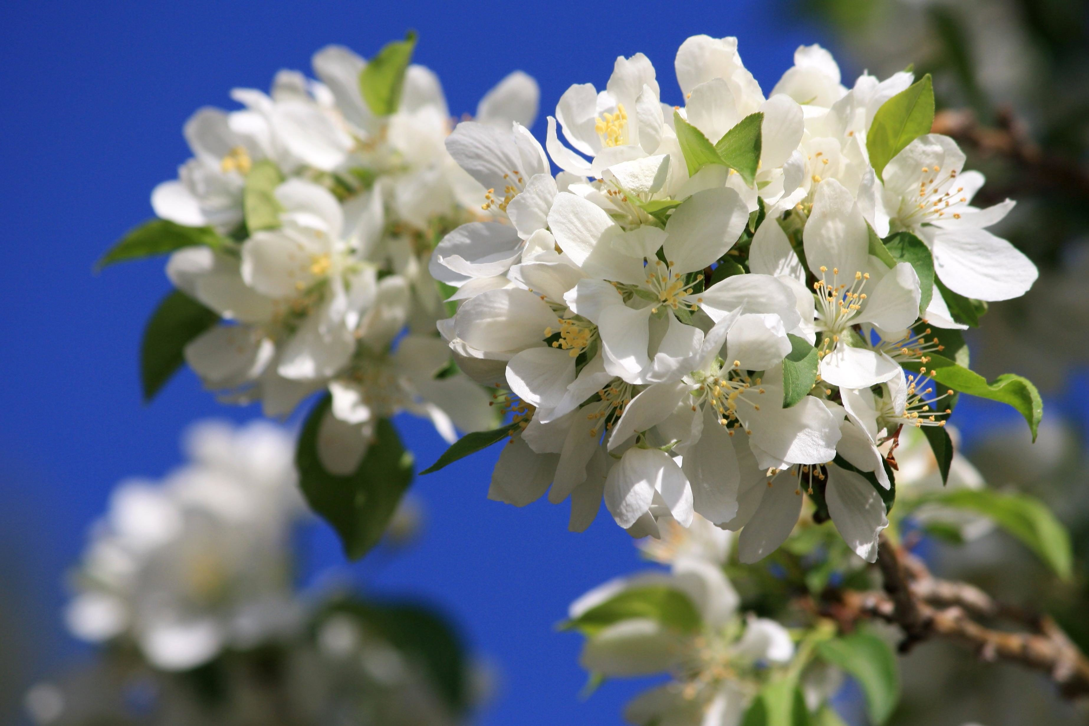 Free picture: cluster, white flowers, blossoms, tree