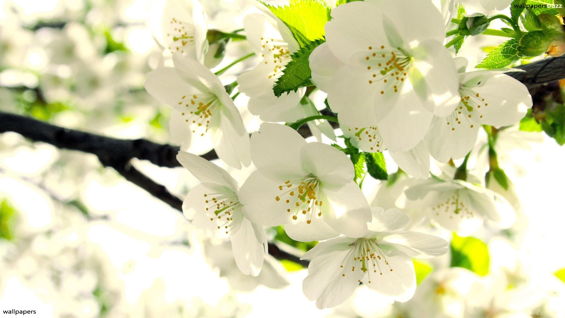 Wonderful white flowers HD Wallpaper