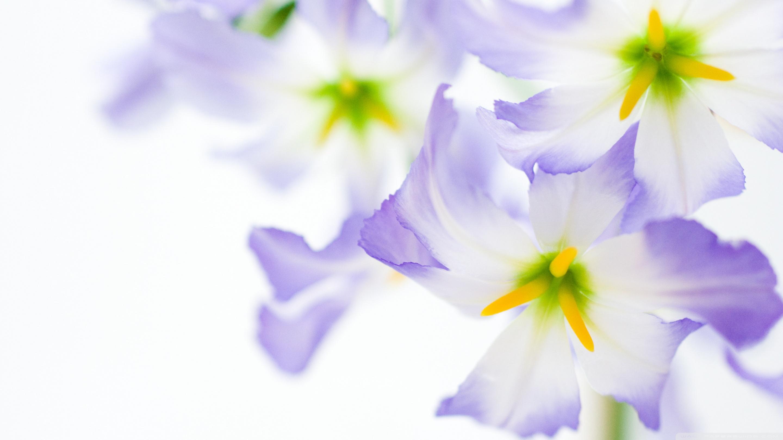 White Flowers Macro ❤ 4K HD Desktop Wallpaper for 4K Ultra HD TV ...