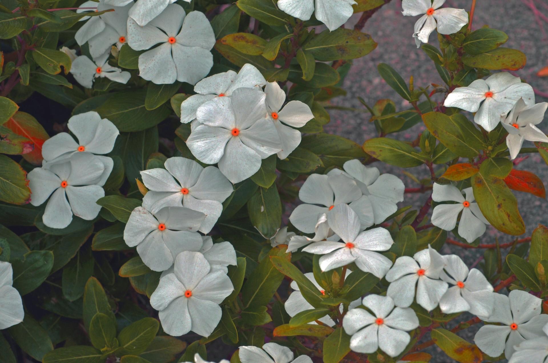 White Flowers Orange Centers Free Stock Photo - Public Domain Pictures