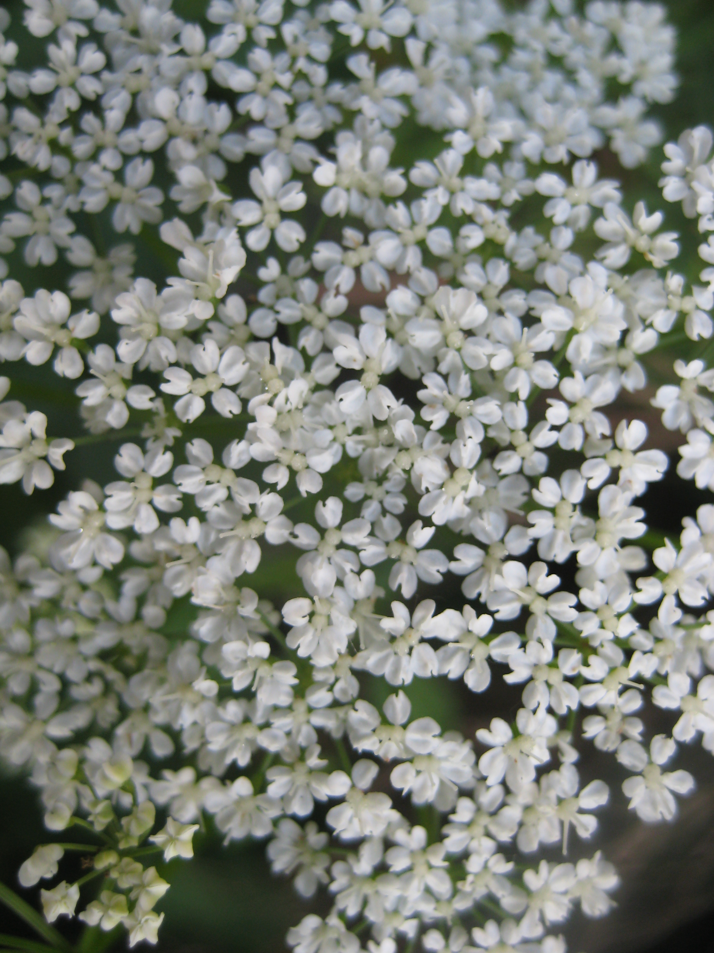 white flower | Berlin Plants: Reading History in the Green Spaces of ...