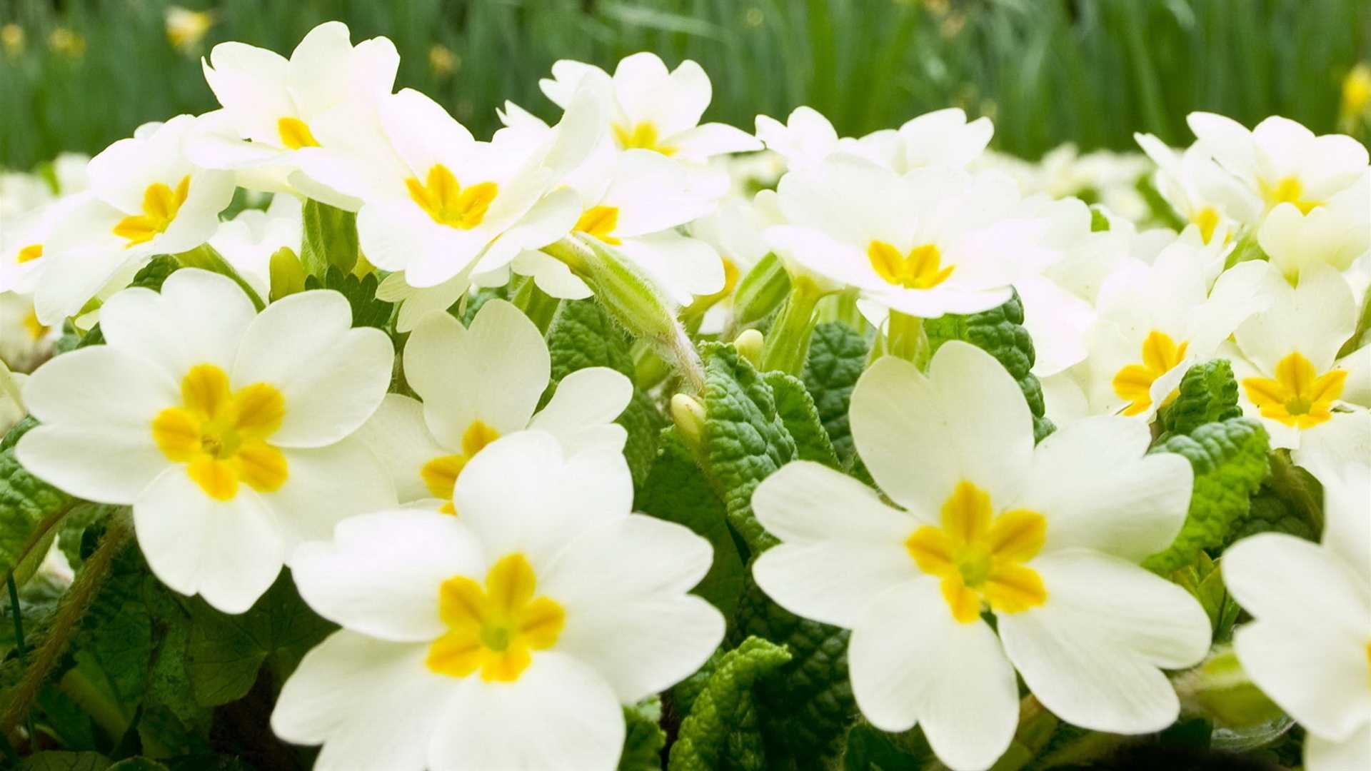 White Flowers Hd Wallpaper Backgrounds High Resolution For Computer ...