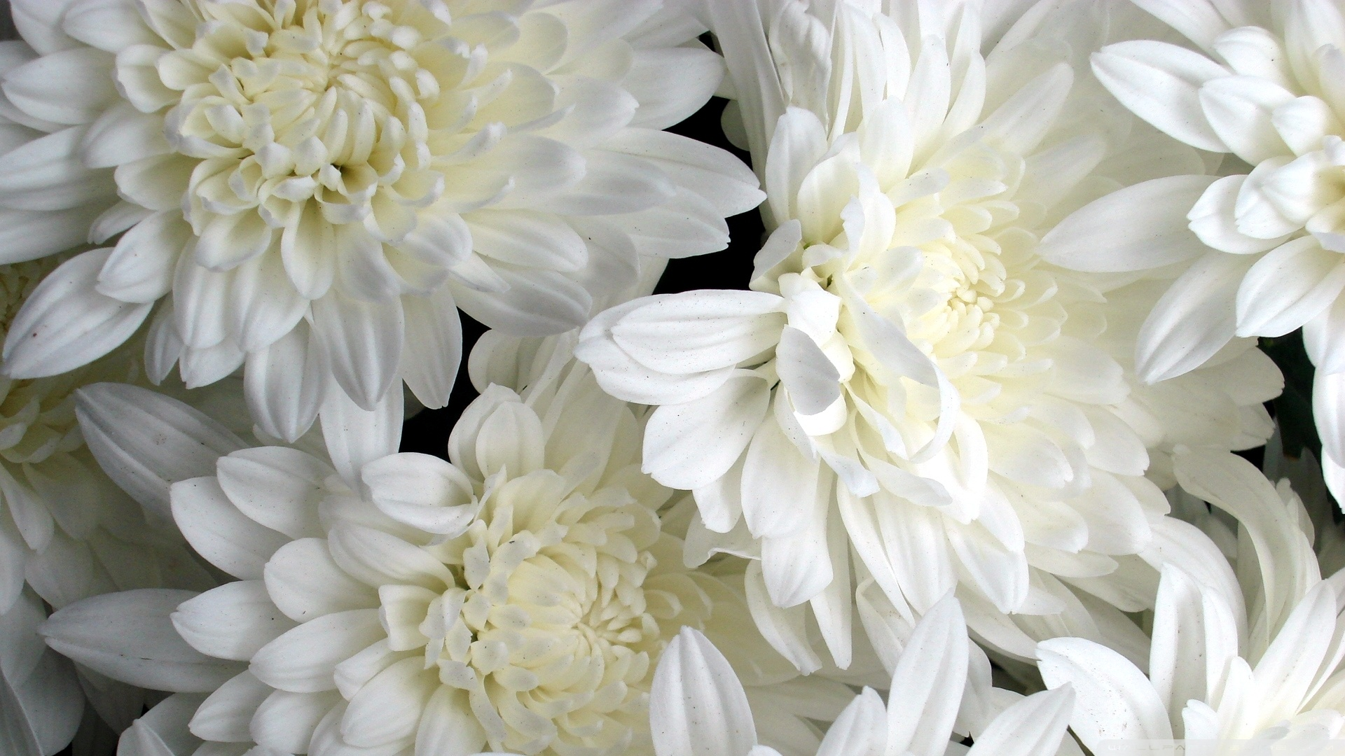 Free Photo White Flowers Plants White Nature Free Download