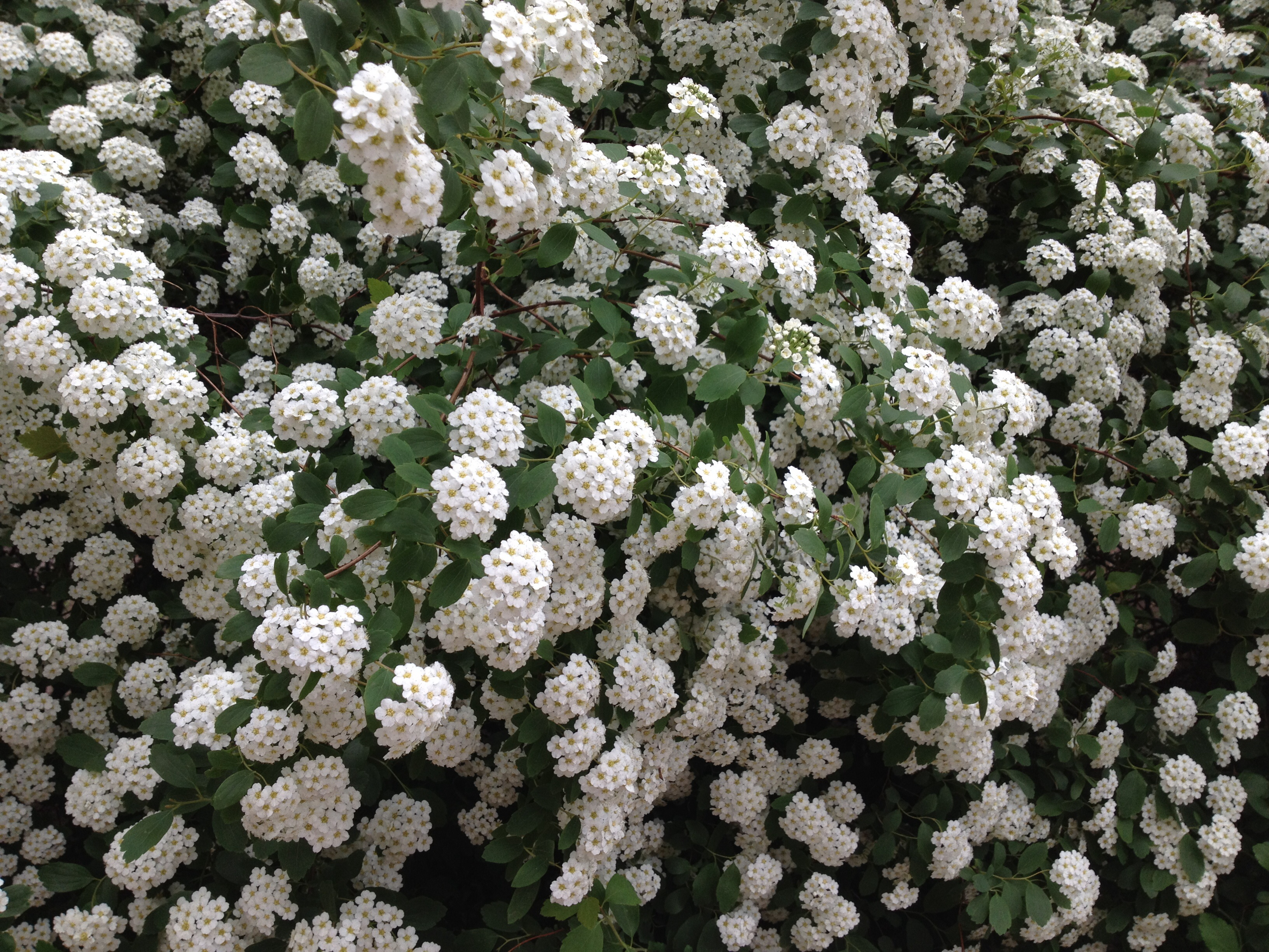 White flowers plants names best image of flower mojoimage photo white flowers summer plants non mercial mightylinksfo