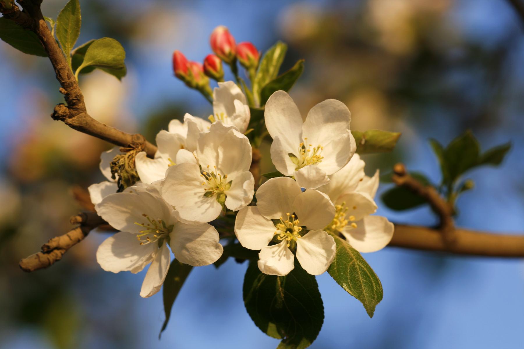 White Flowers, Beautiful, Fresh, Nobody, Nature, HQ Photo