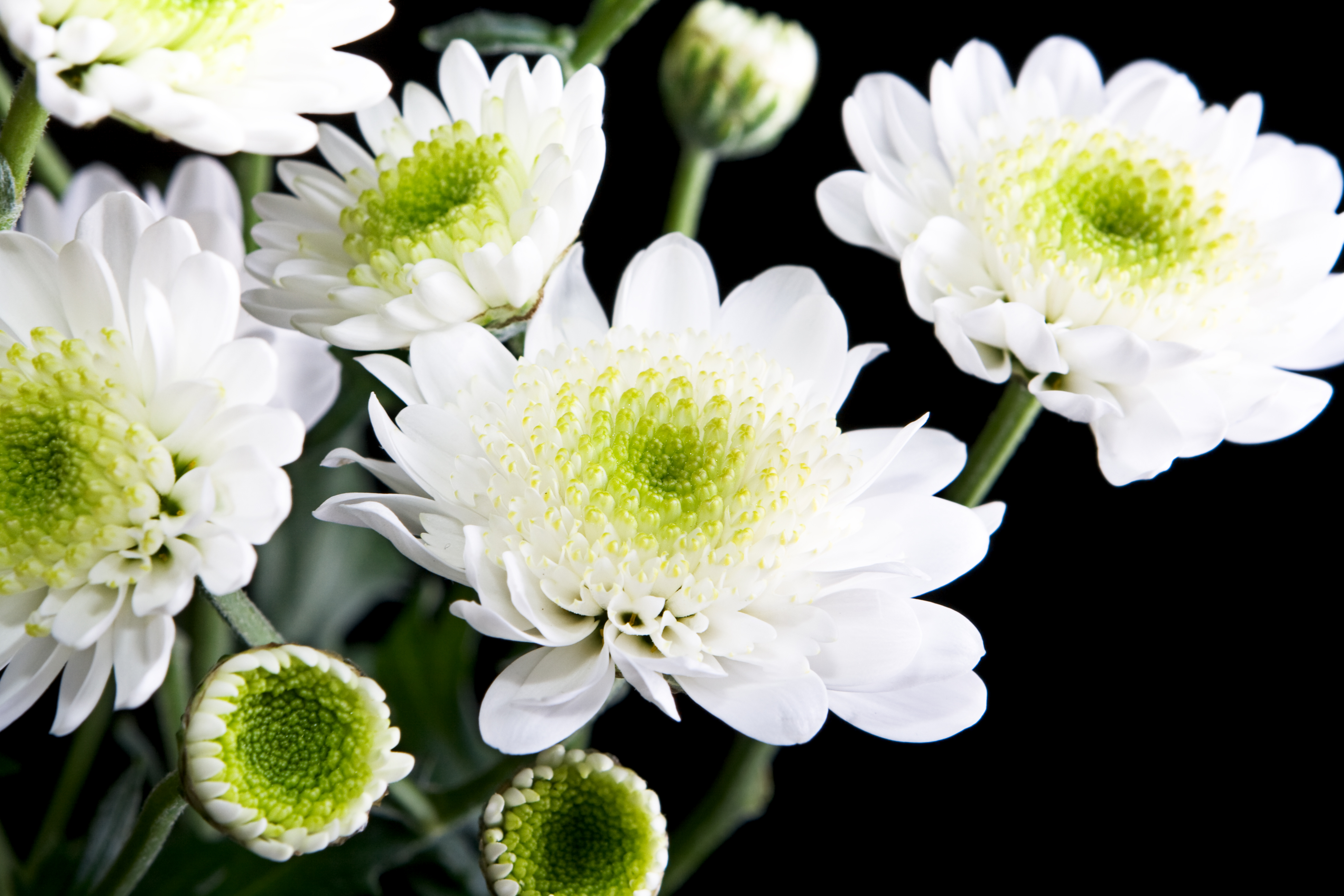 White flowers, Black, Flower, Flowers, Fresh, HQ Photo