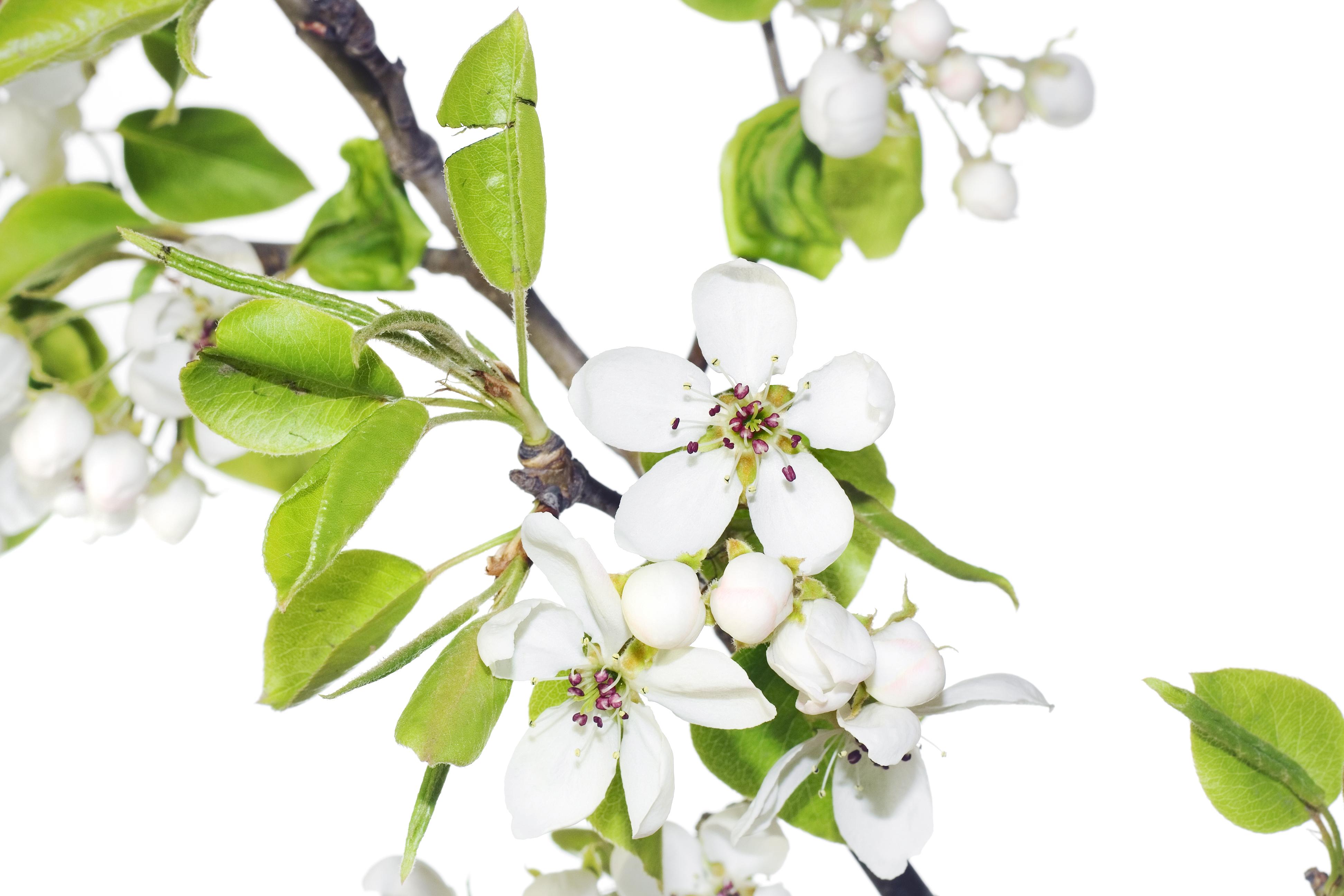 Free Photo White Flowers Petal Sakura Plant Free Download