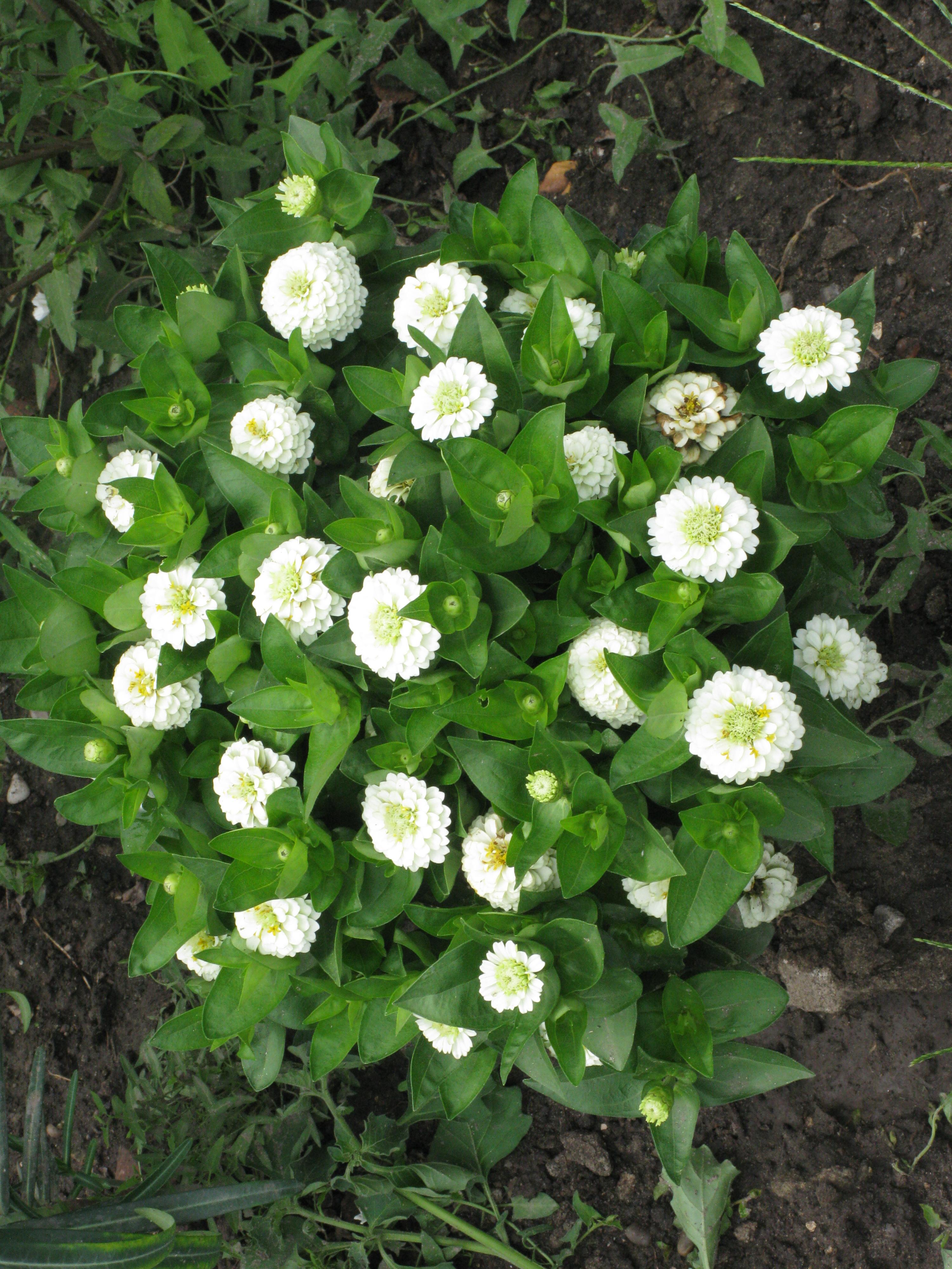 Free Photo White Flowers Plants White Grow Free Download Jooinn