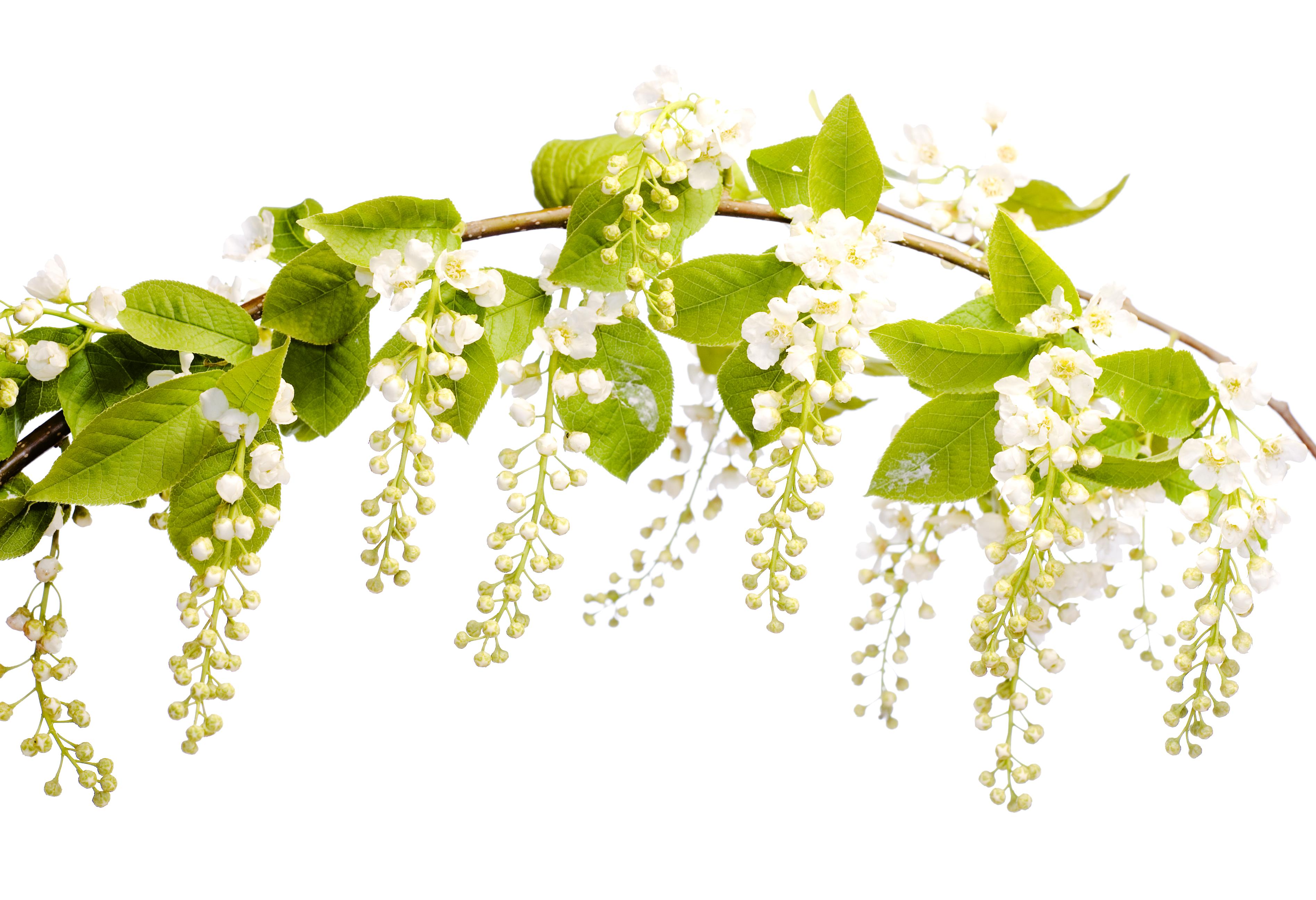 White Flowers, Closeup, Detail, Flora, Floral, HQ Photo