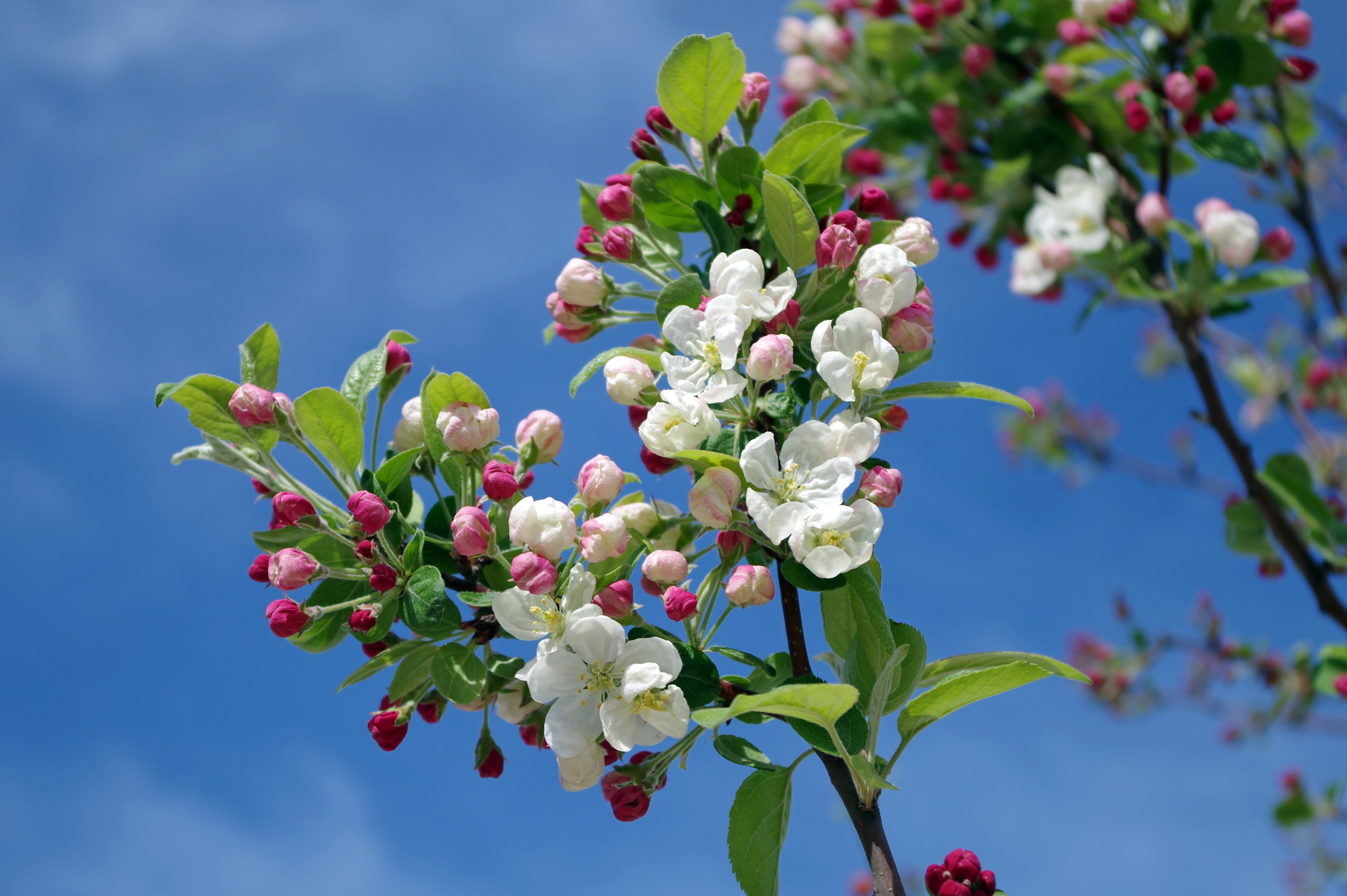 Free Photo White Flowers On Black Tree Branch Under Sky During