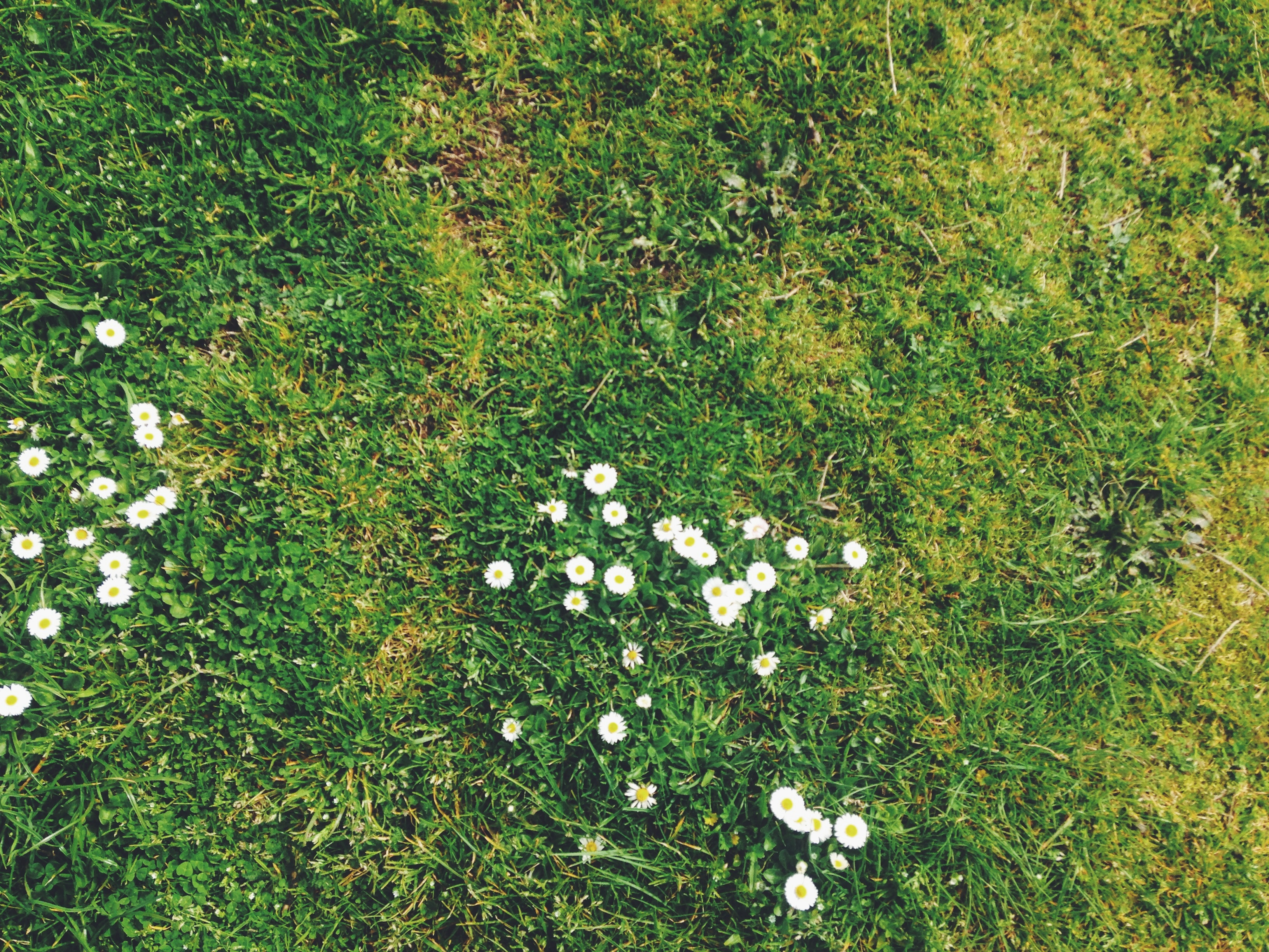 Free Photo White Flowers On The Grass Nature White Green Free