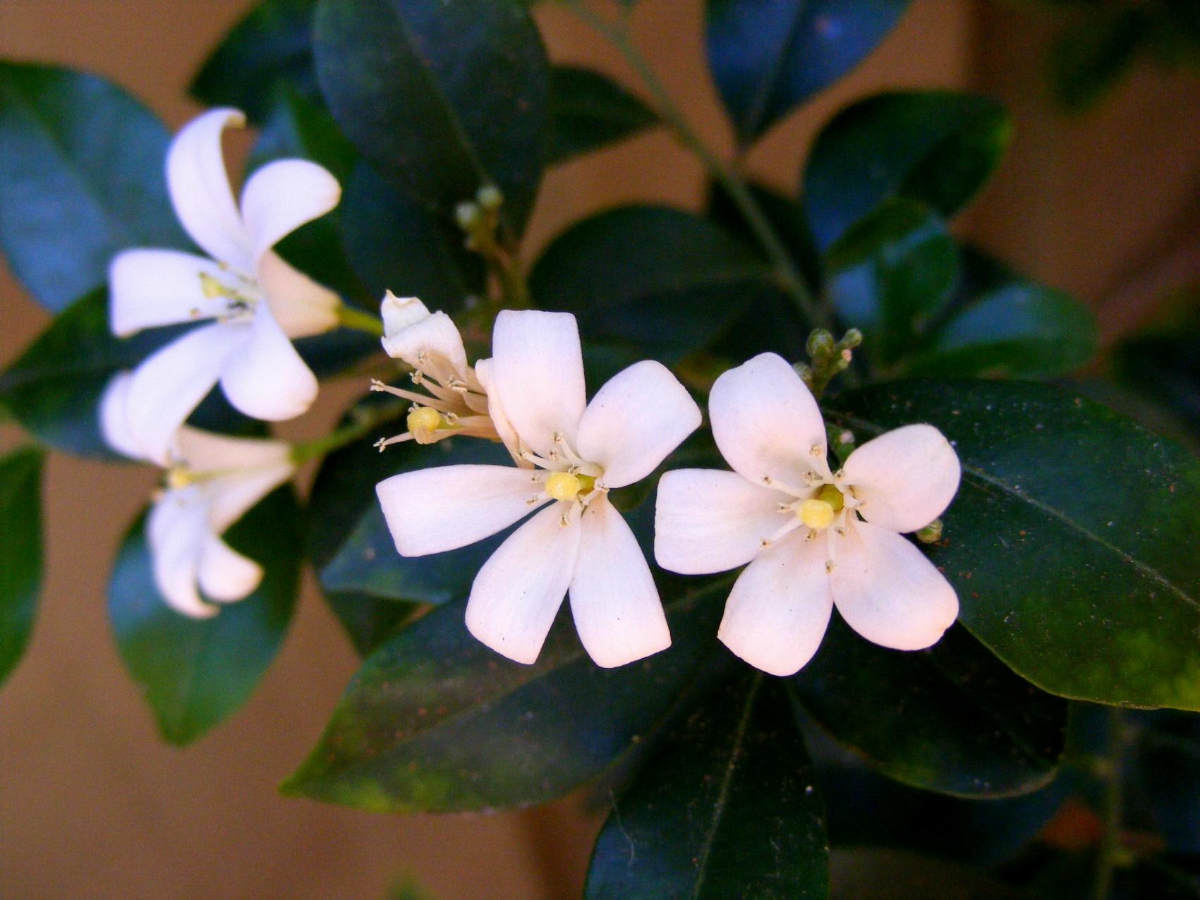 Free Photo White Jasmine Flower Plant Pedals Summer Free