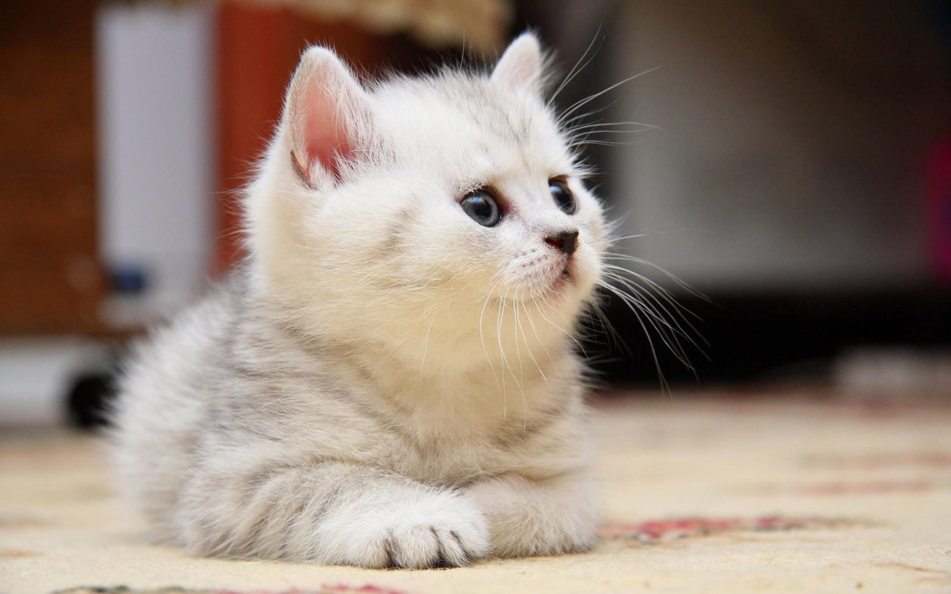 Free Photo White Kitten Animal Cat Cute Free Download Jooinn
