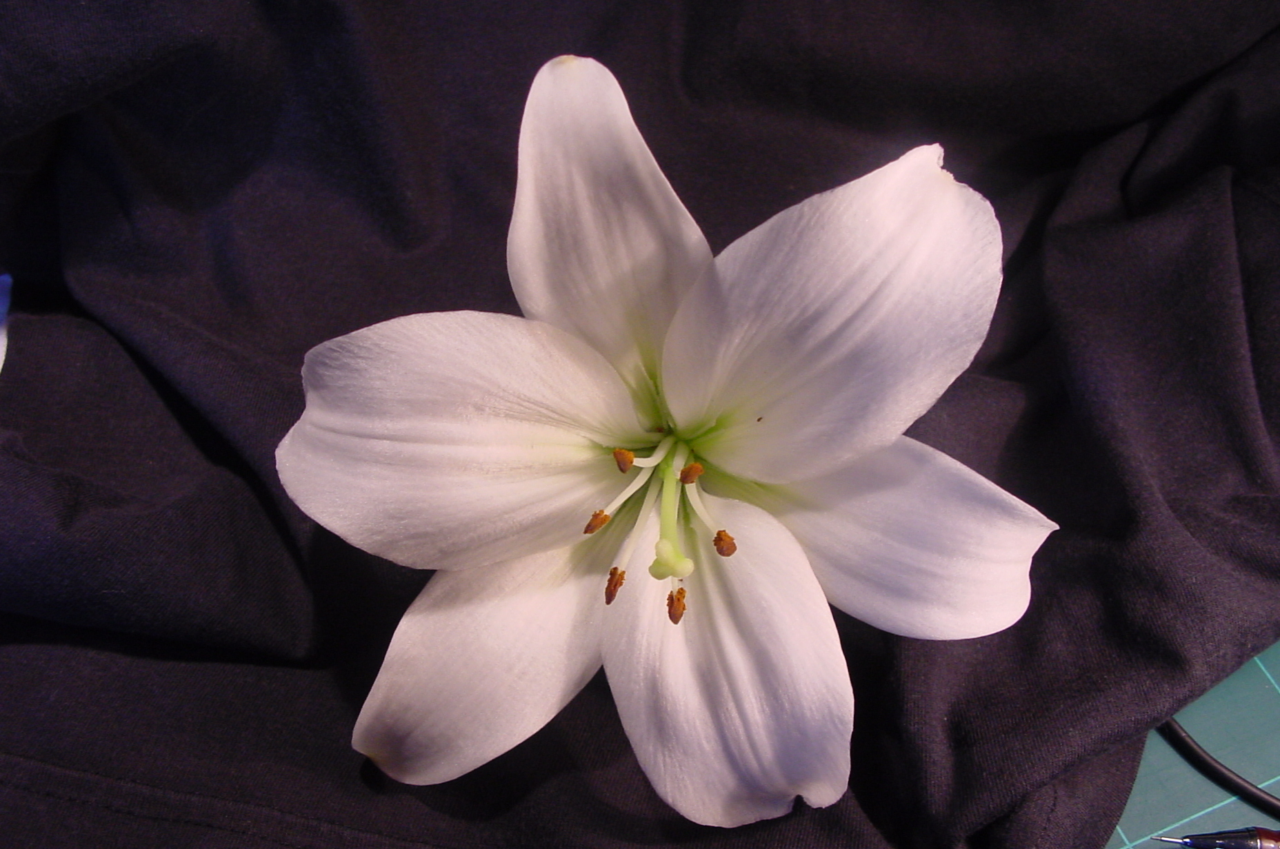 Free Photo White Lily White Lily Flower Free Download Jooinn