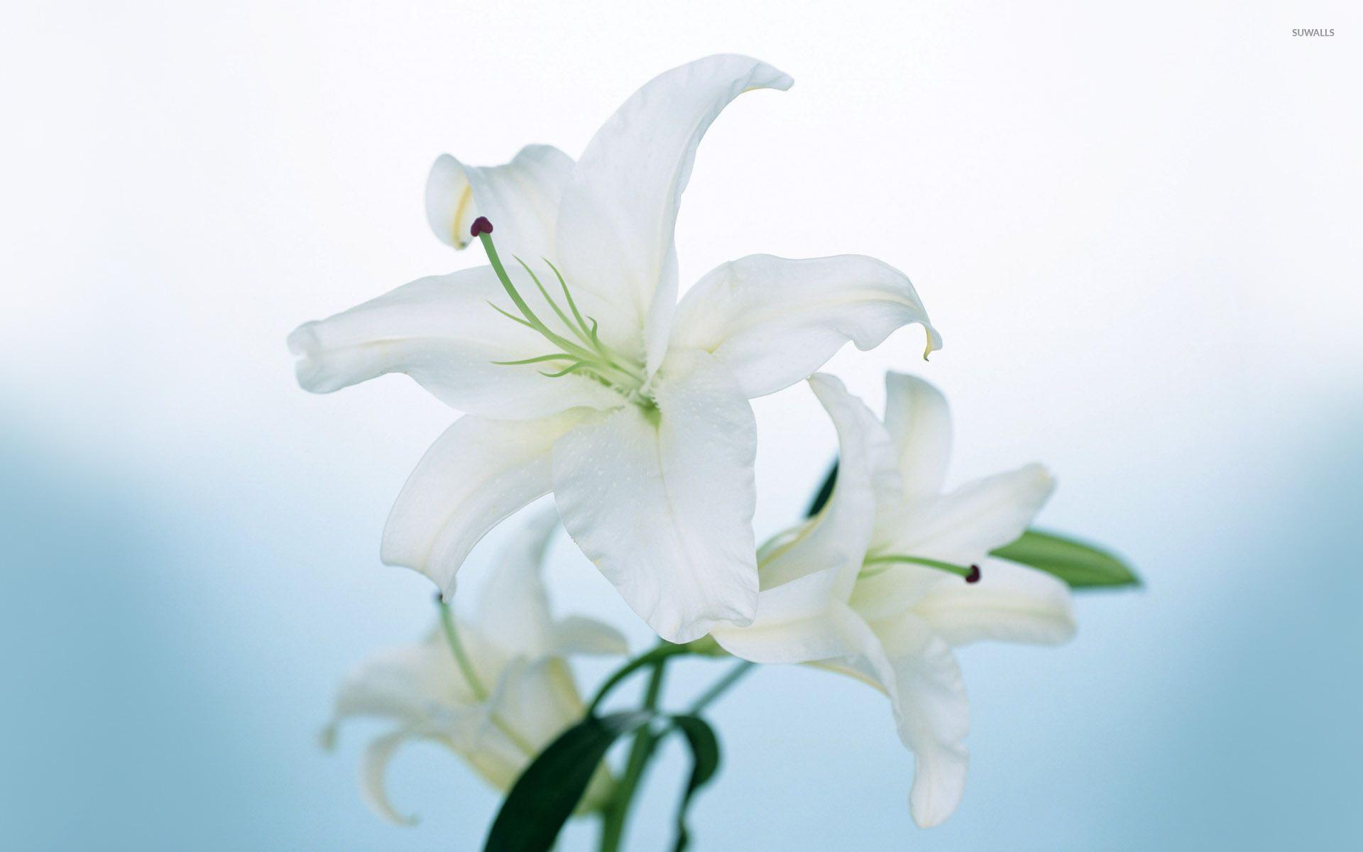 Free photo white lily white lily flower free download jooinn white lily izmirmasajfo
