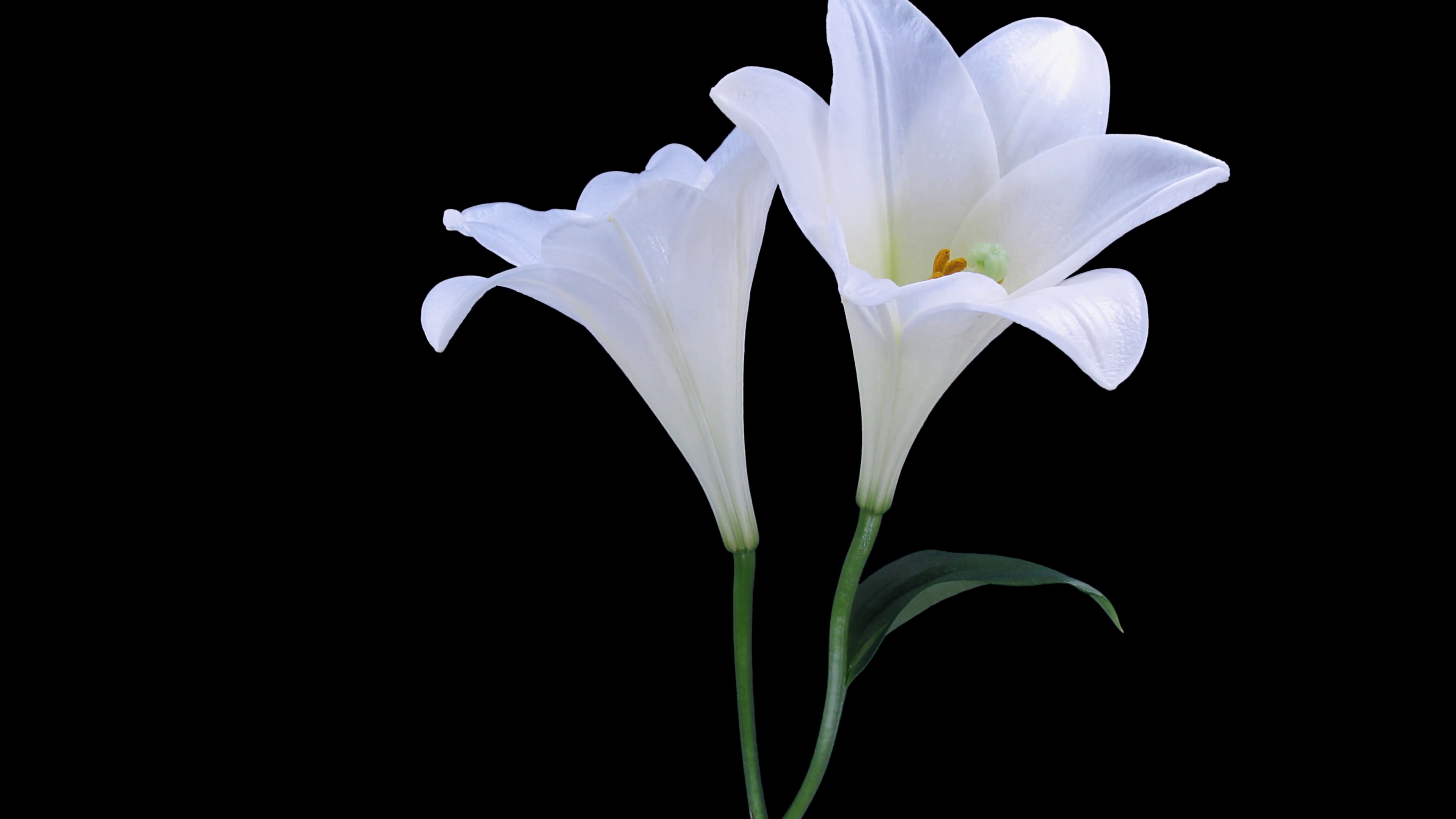 Free photo white lily white lily flower free download jooinn white lily izmirmasajfo