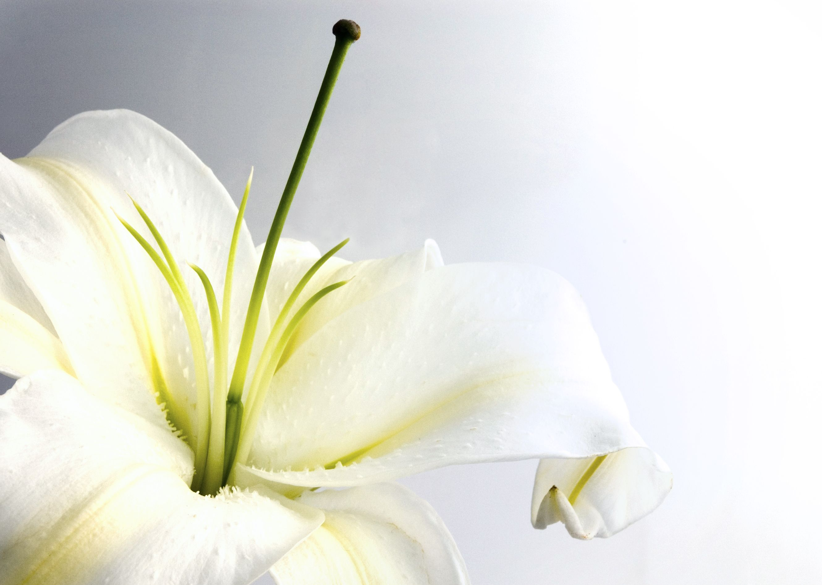 Free Photo White Lily Summer White Lily Free Download Jooinn