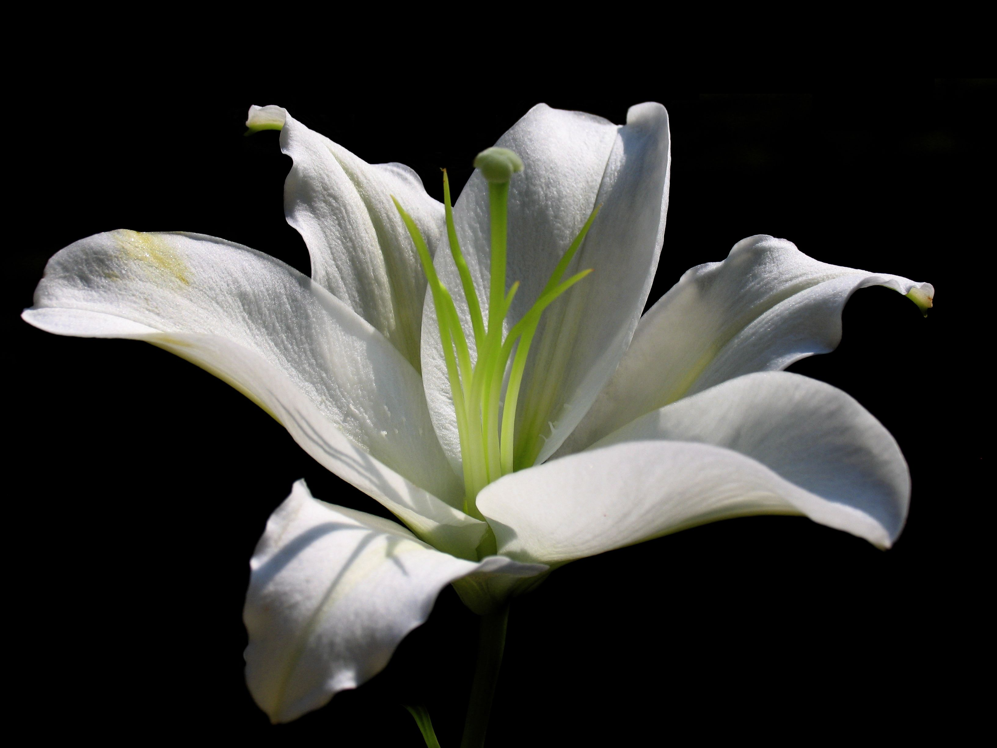Free Photo White Lily Flower Lily Natural Nature Free