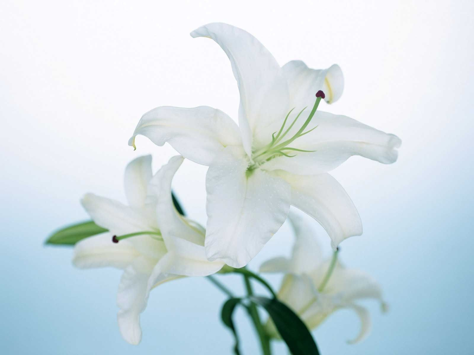 Free photo white lily flower lily natural nature free white lily flower izmirmasajfo
