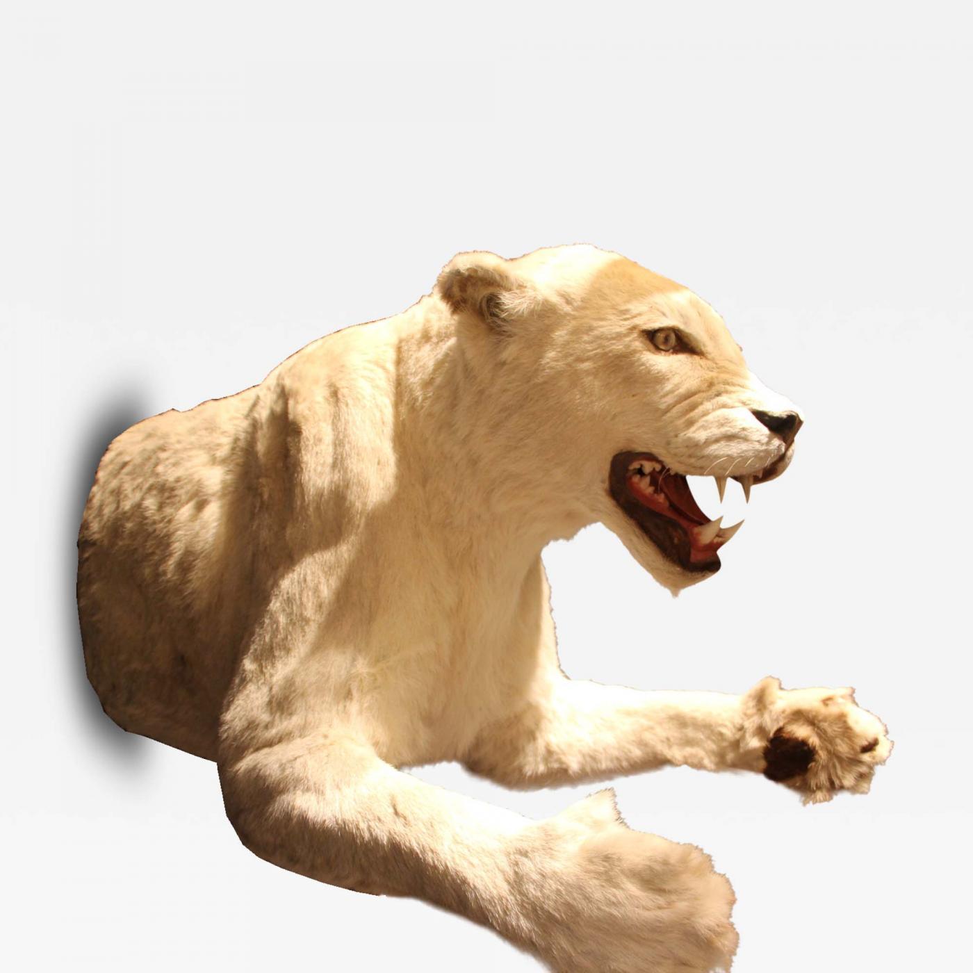 White lioness photo