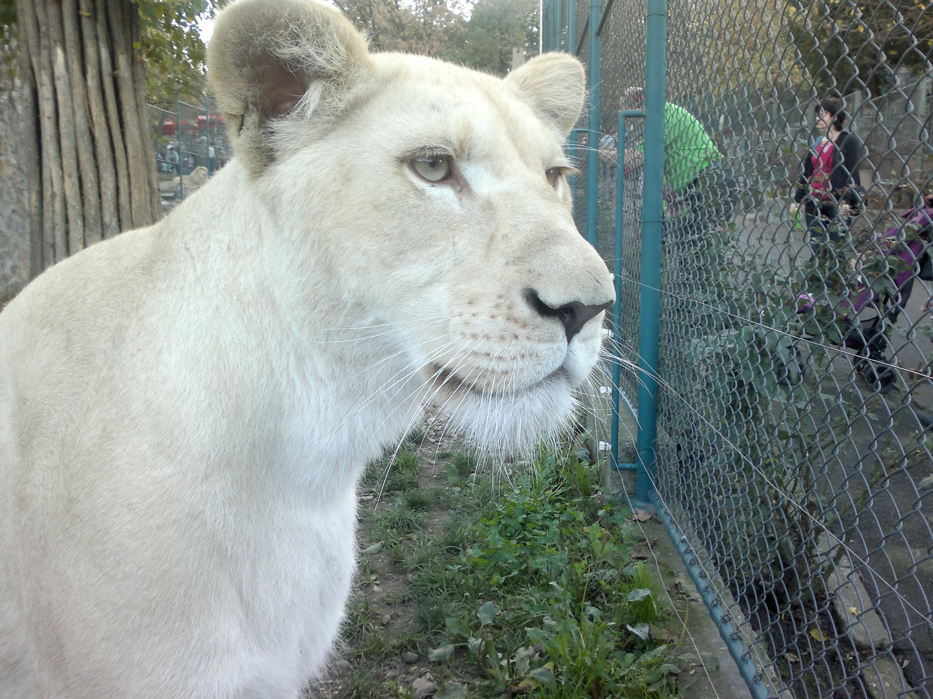 File:White lioness - inside the cage view.jpg - Wikimedia Commons