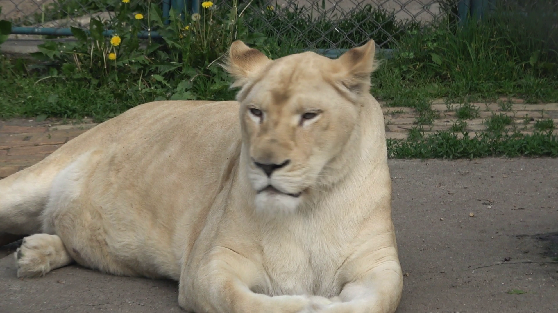 White Lioness In The Zoo Slow Motion Stock Video Footage - VideoBlocks