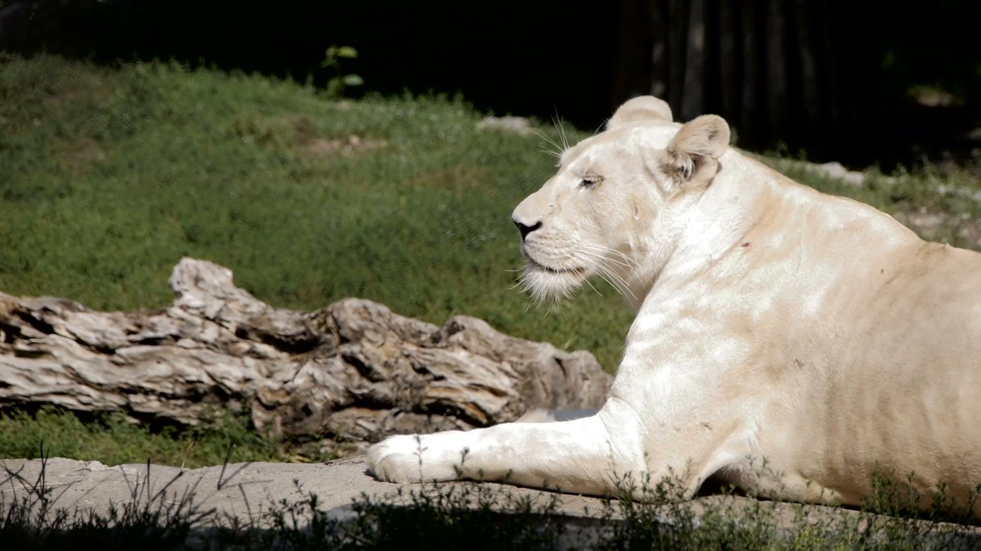 Lazy white lioness resting on summer sun. Belgrade zoo Stock Video ...