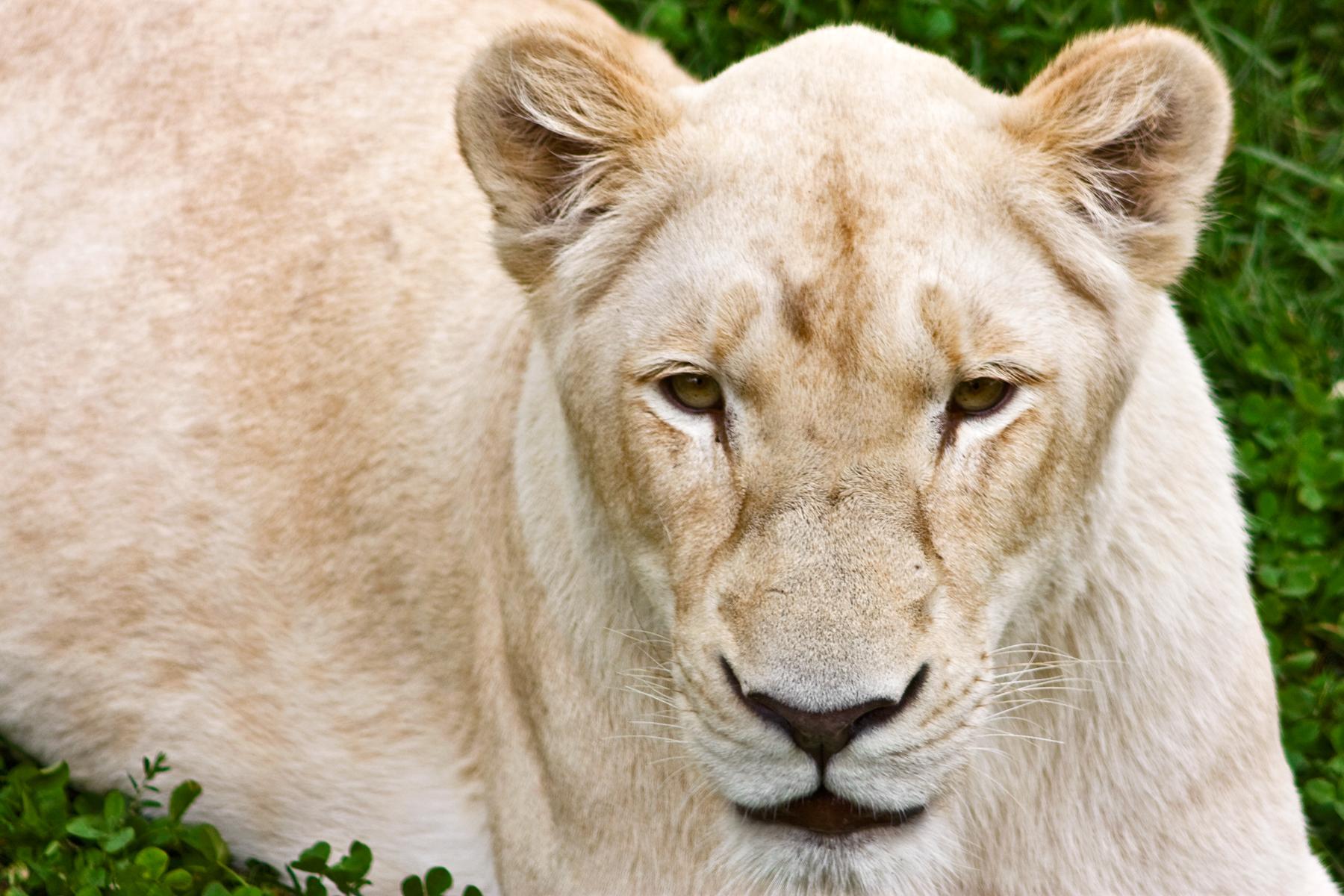 White Lioness, Animal, Image, Lion, Lioness, HQ Photo
