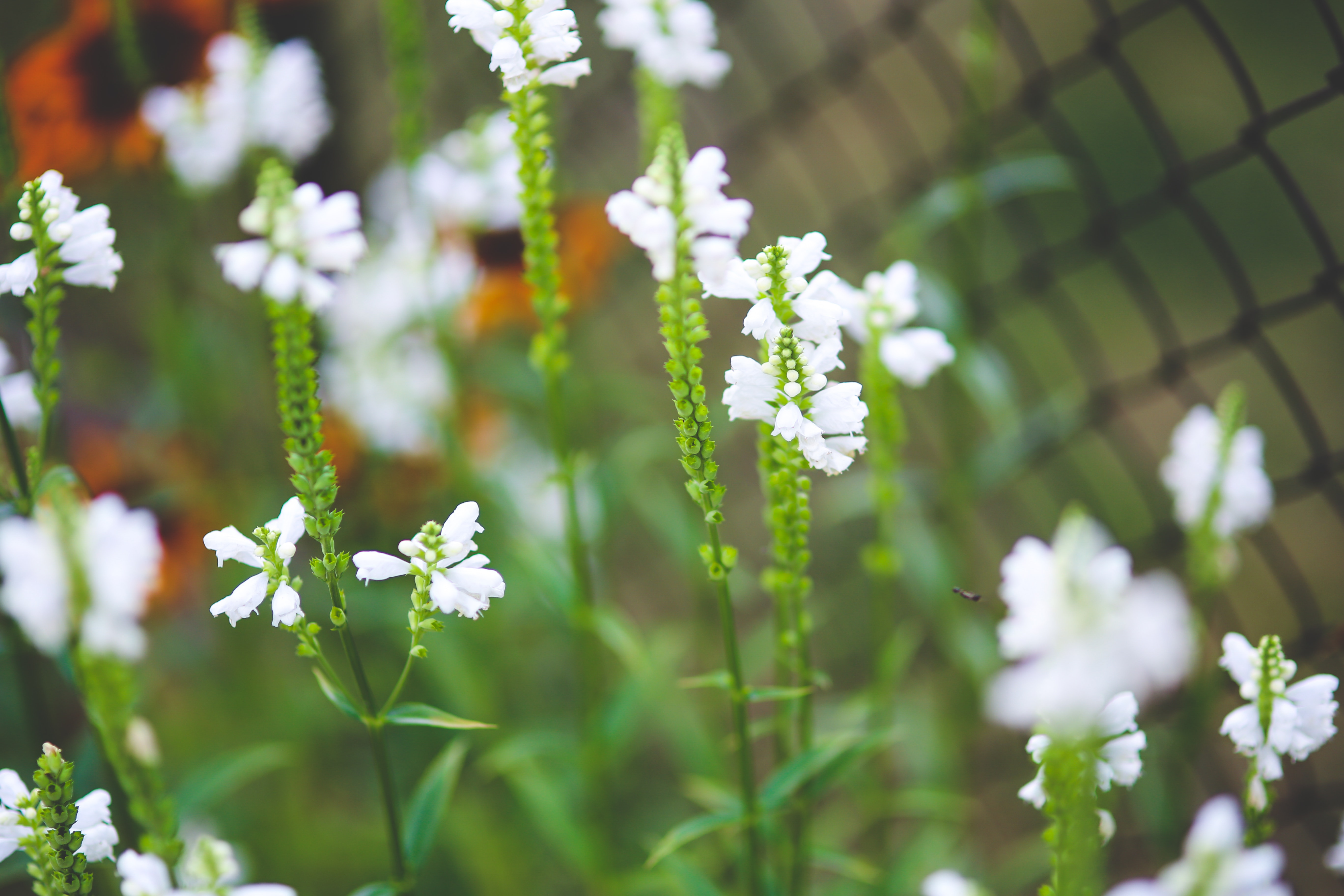 White little flowers, Flowers, Garden, Nature, Plant, HQ Photo