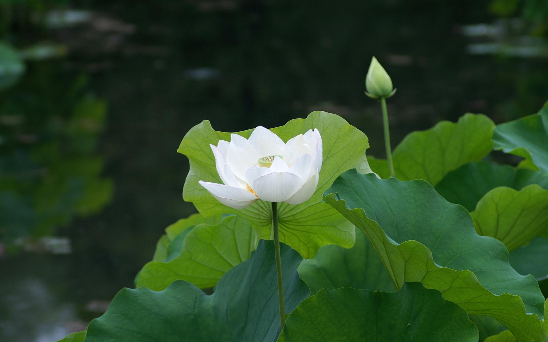 Free Photo White Lotus White Lotus Flower Free Download Jooinn