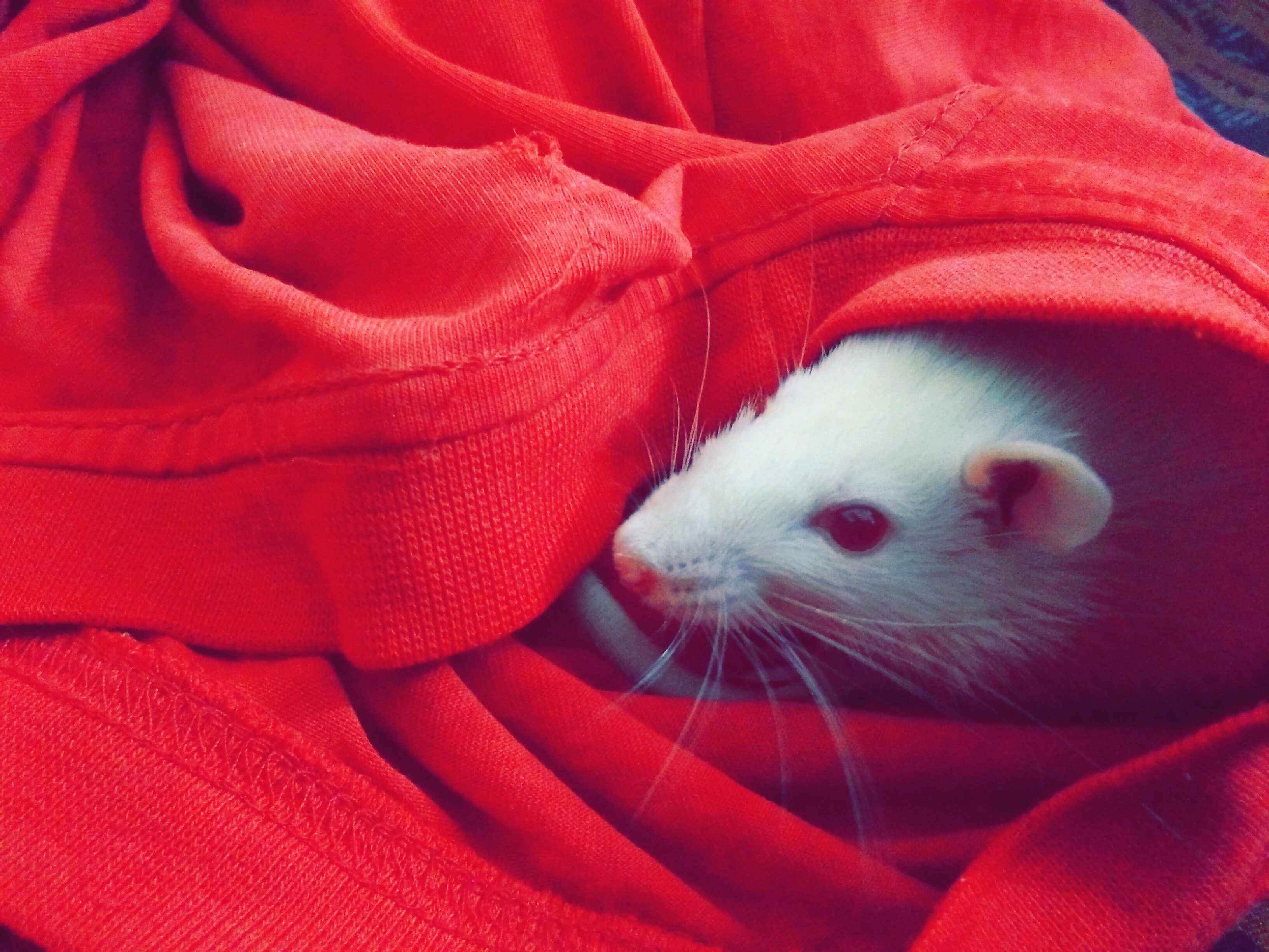 White mouse hiding on red textile photo