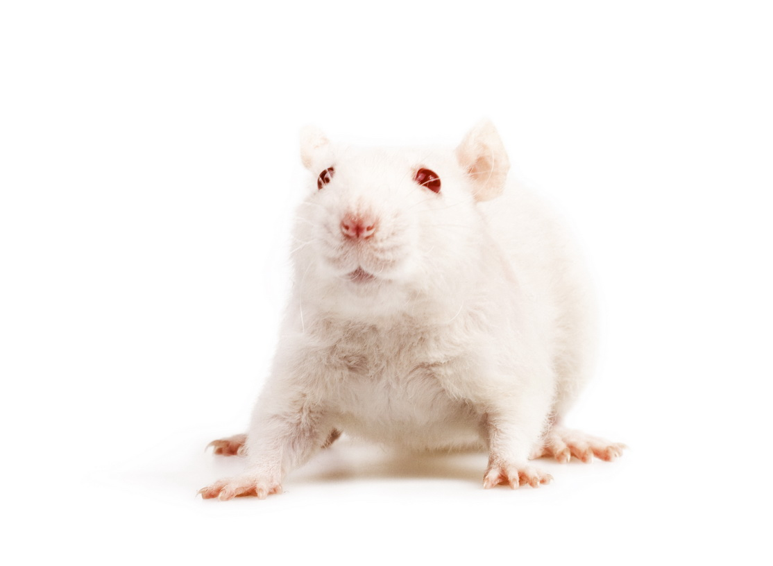 White mouse, Animal, Sniff, Smell, Rodent, HQ Photo