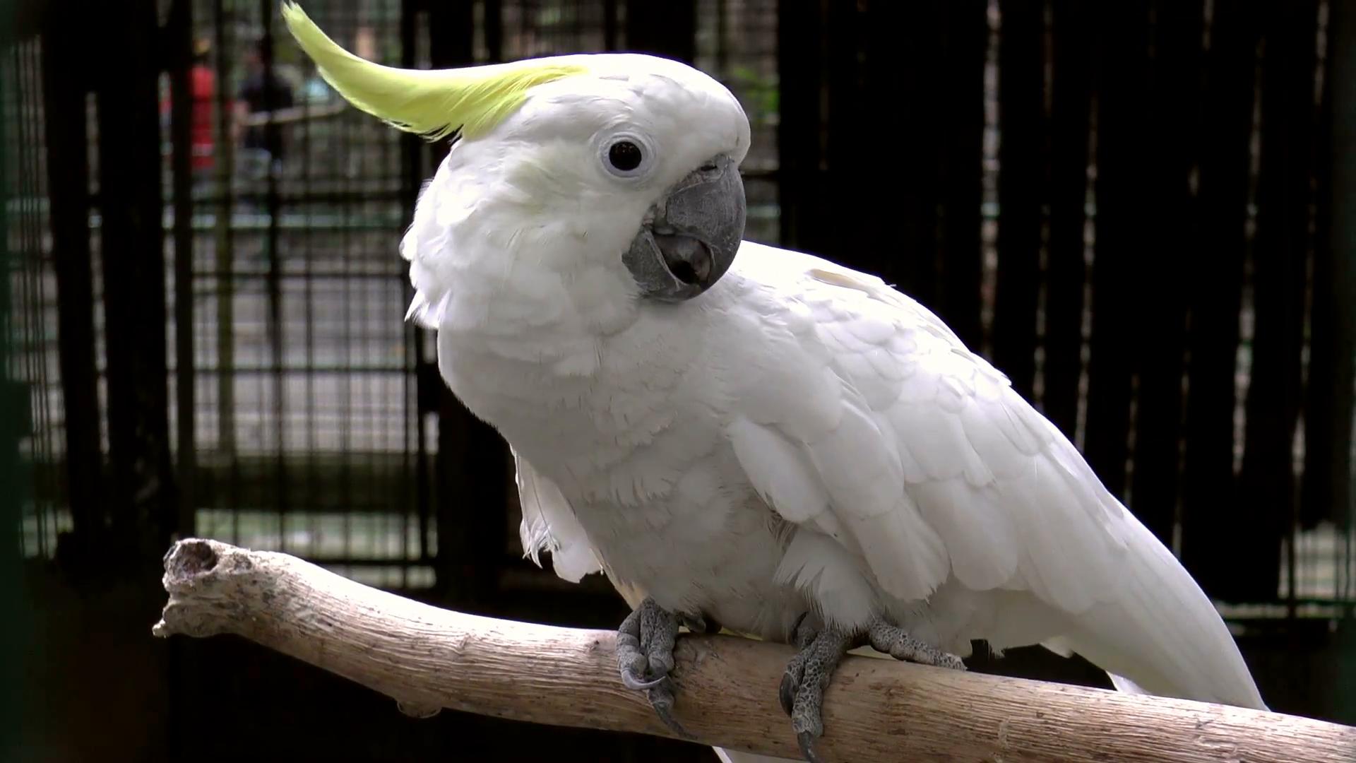 white parrot - White Cockatoo (Cacatua alba), also known as the ...