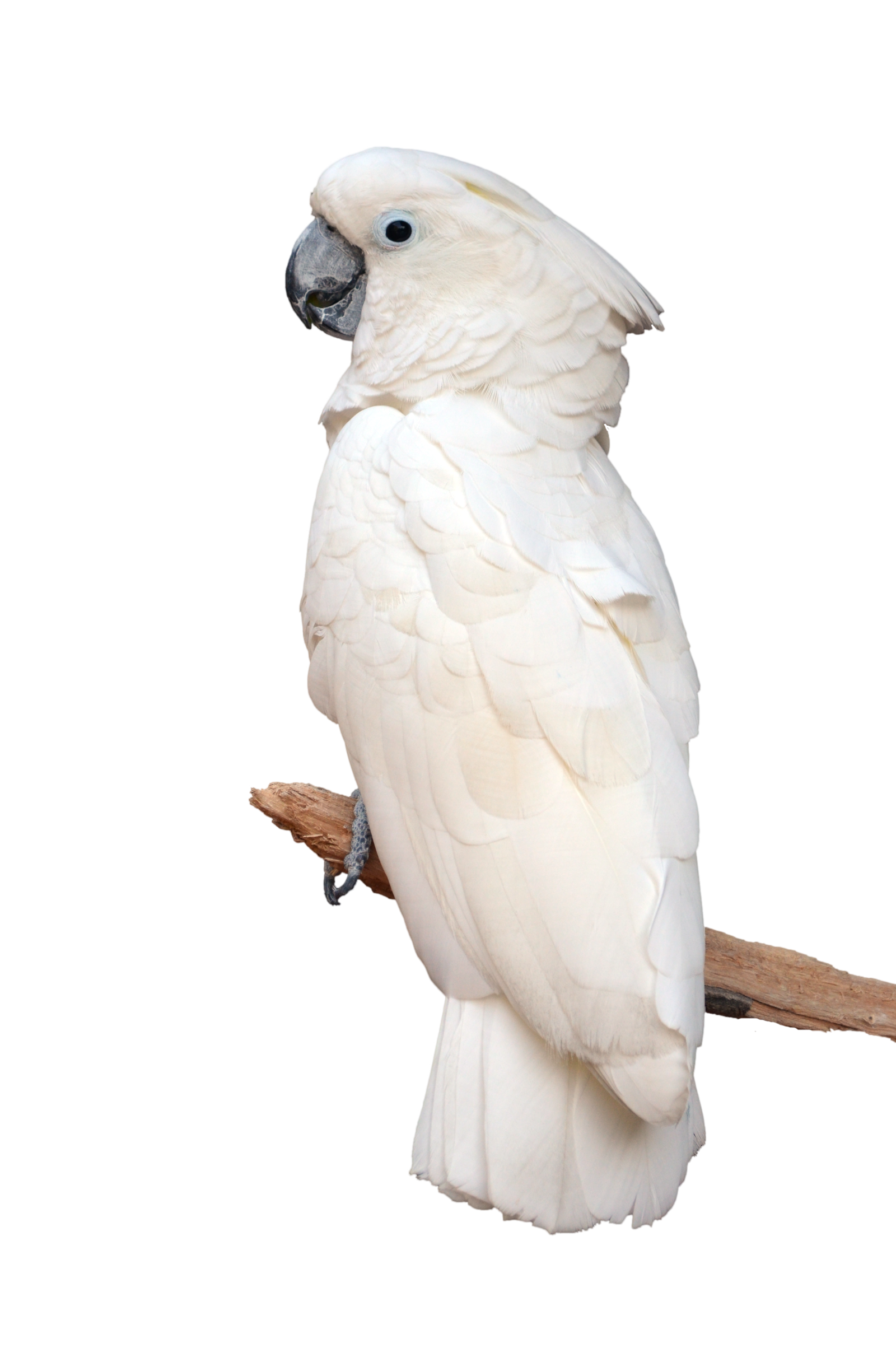 White Parrot on Perch Stock Photo 0804 PNG by annamae22 | I AM JUST ...