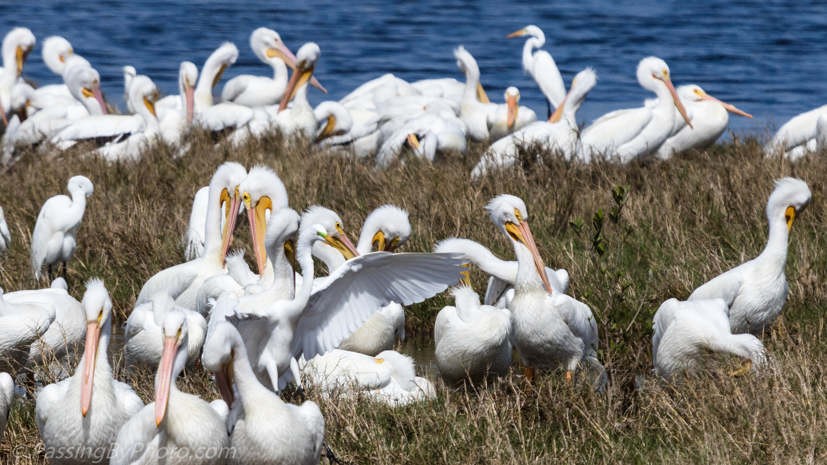 Resting American White Pelicans | Passing By Photo