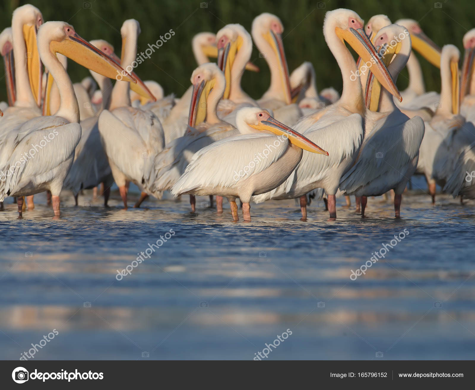Small flock white pelicans rest on the water in soft evening ...